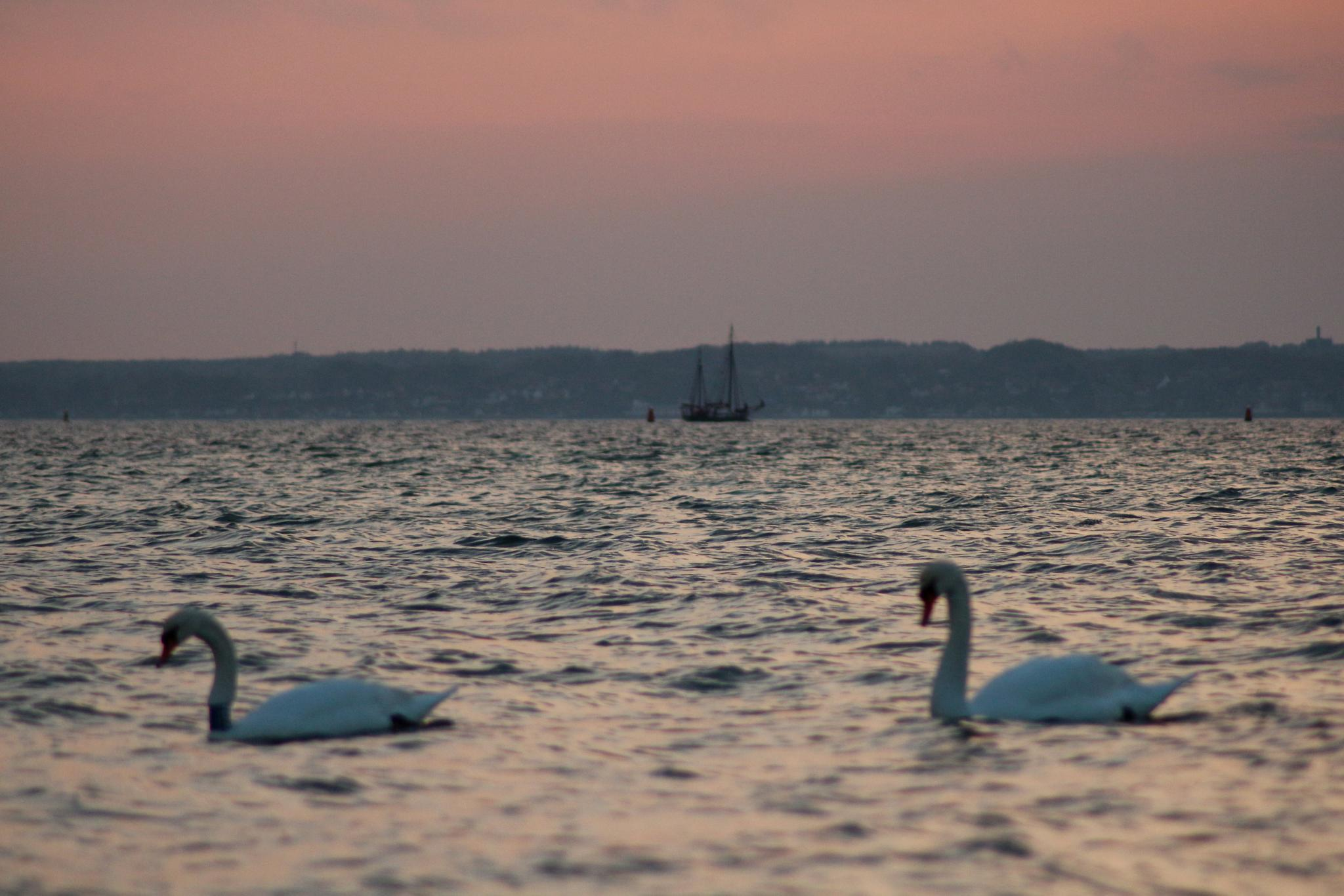 Photo in Landscape #swans #öresund #seascape