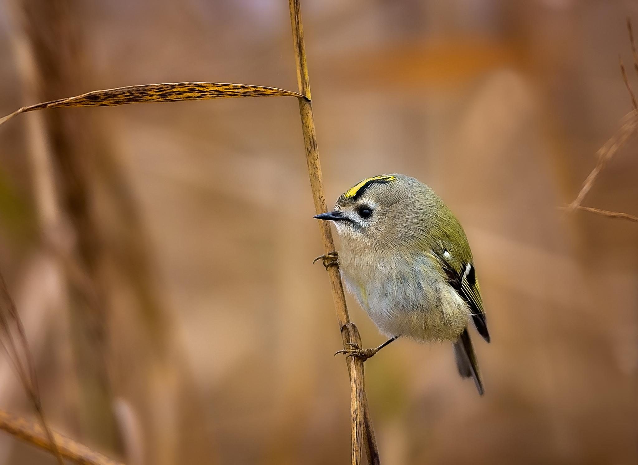 Goldcrest by photo101