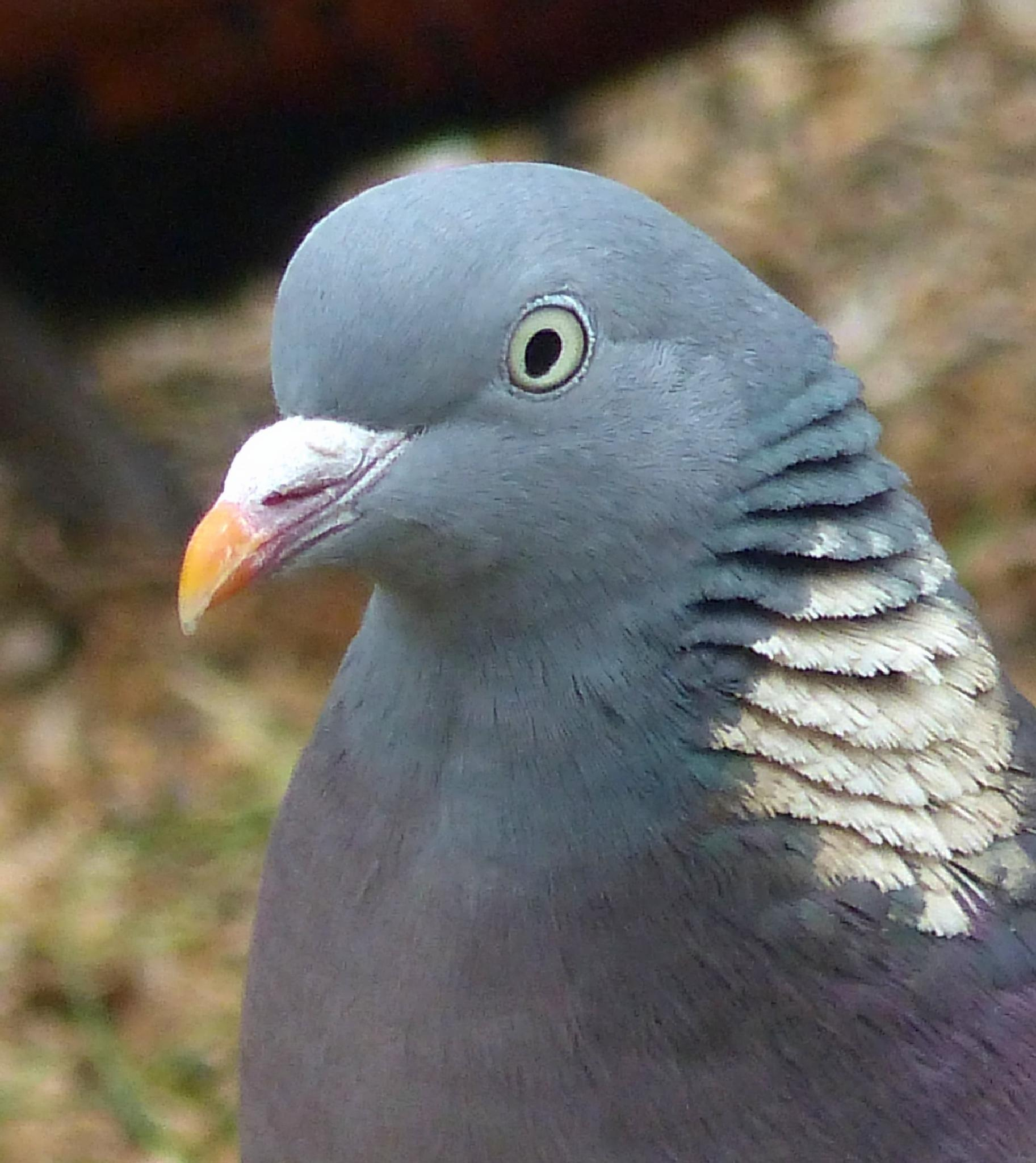 Pigeon up close by maja.e.olin