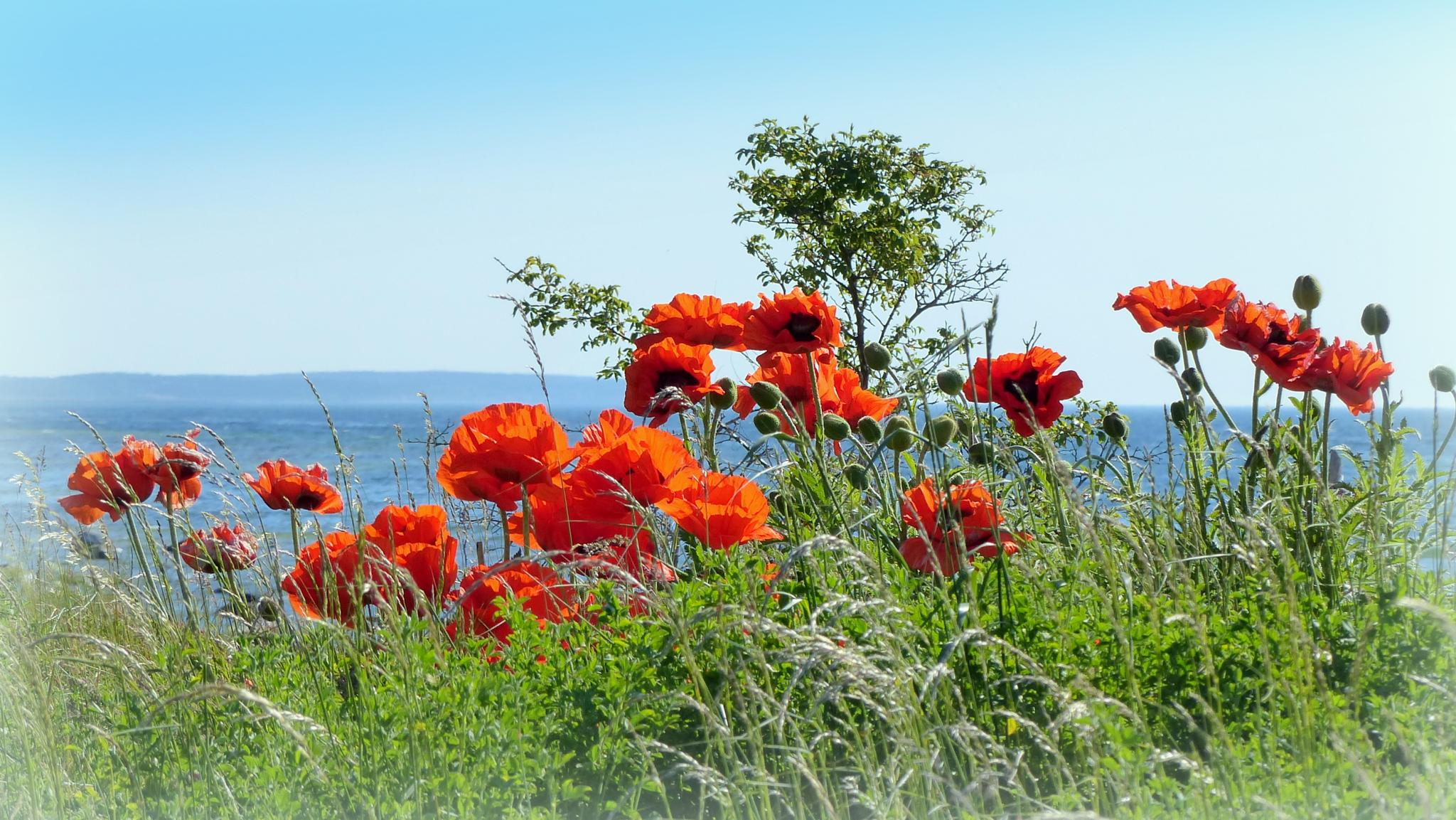 Poppies by the Baltic sea by maja.e.olin