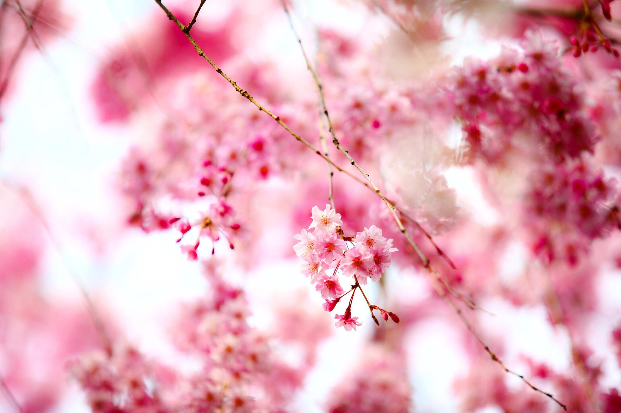 Cherry blossom in Kyoto by yuri suzuki