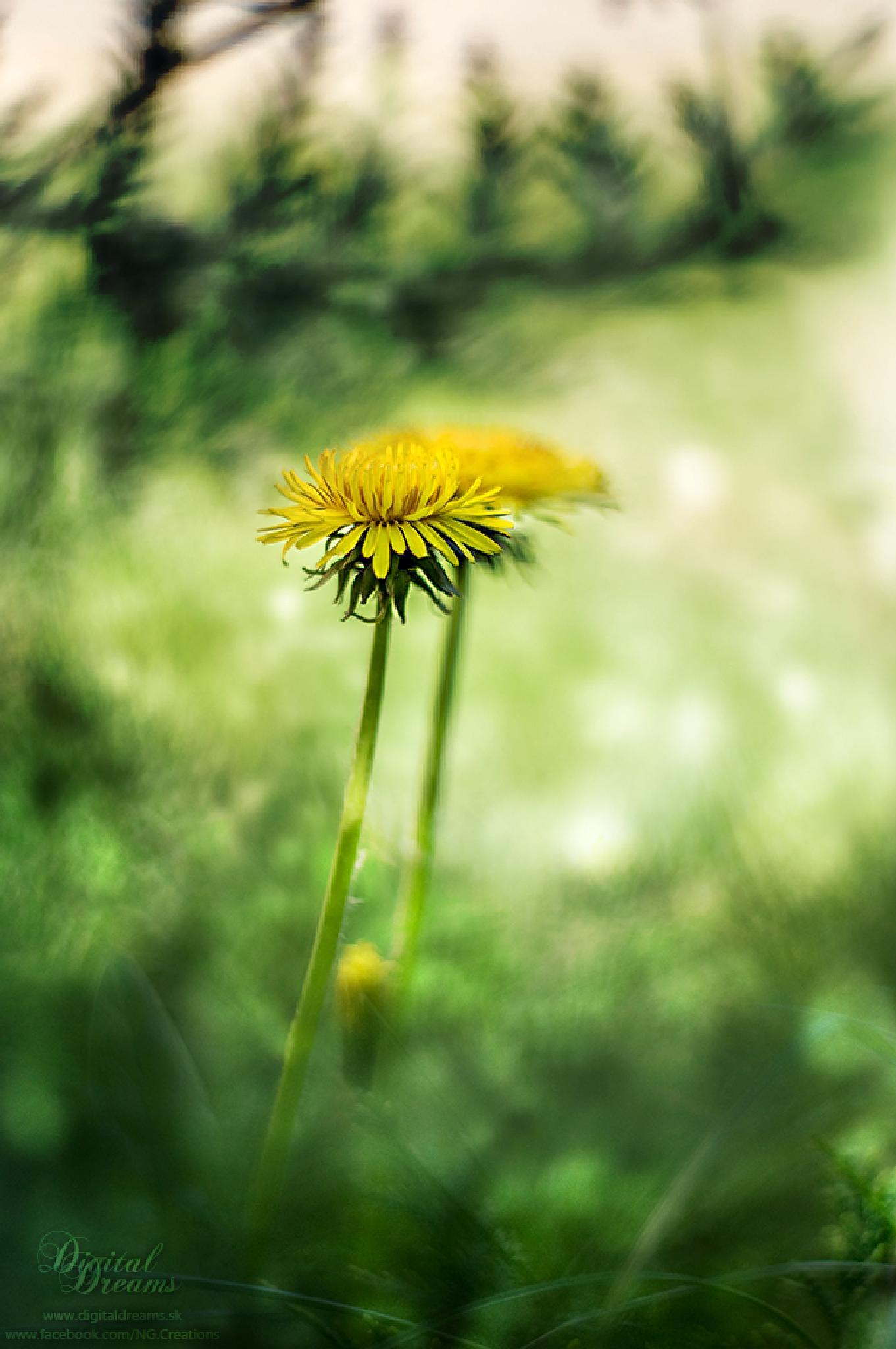 Dandelion by digitaldreams_sk