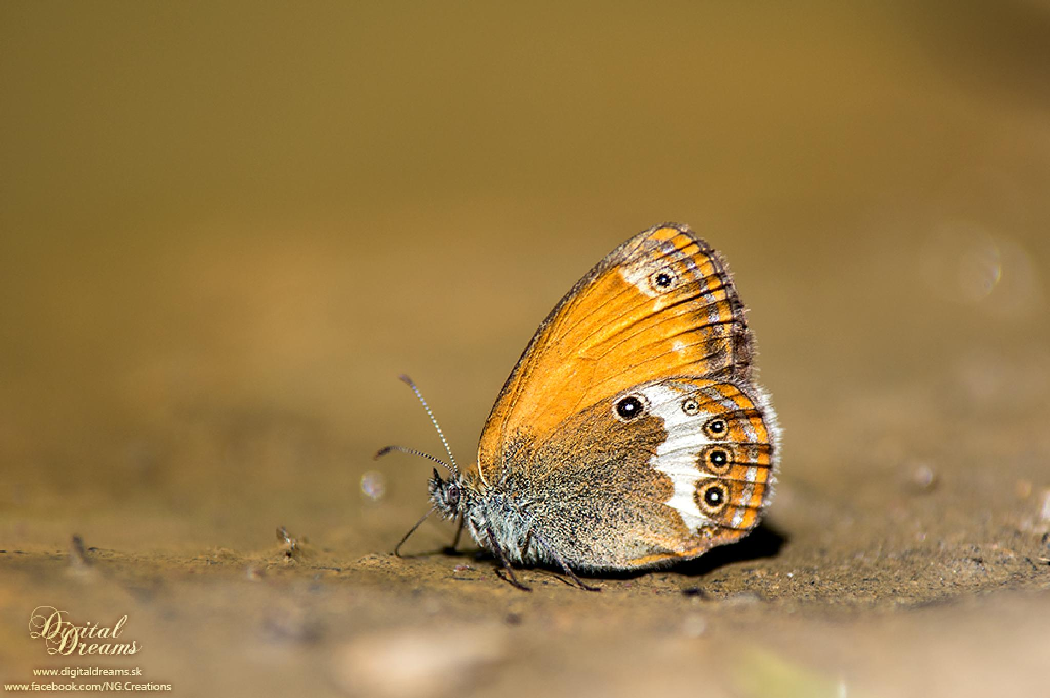 Thirsty butterfly by digitaldreams_sk