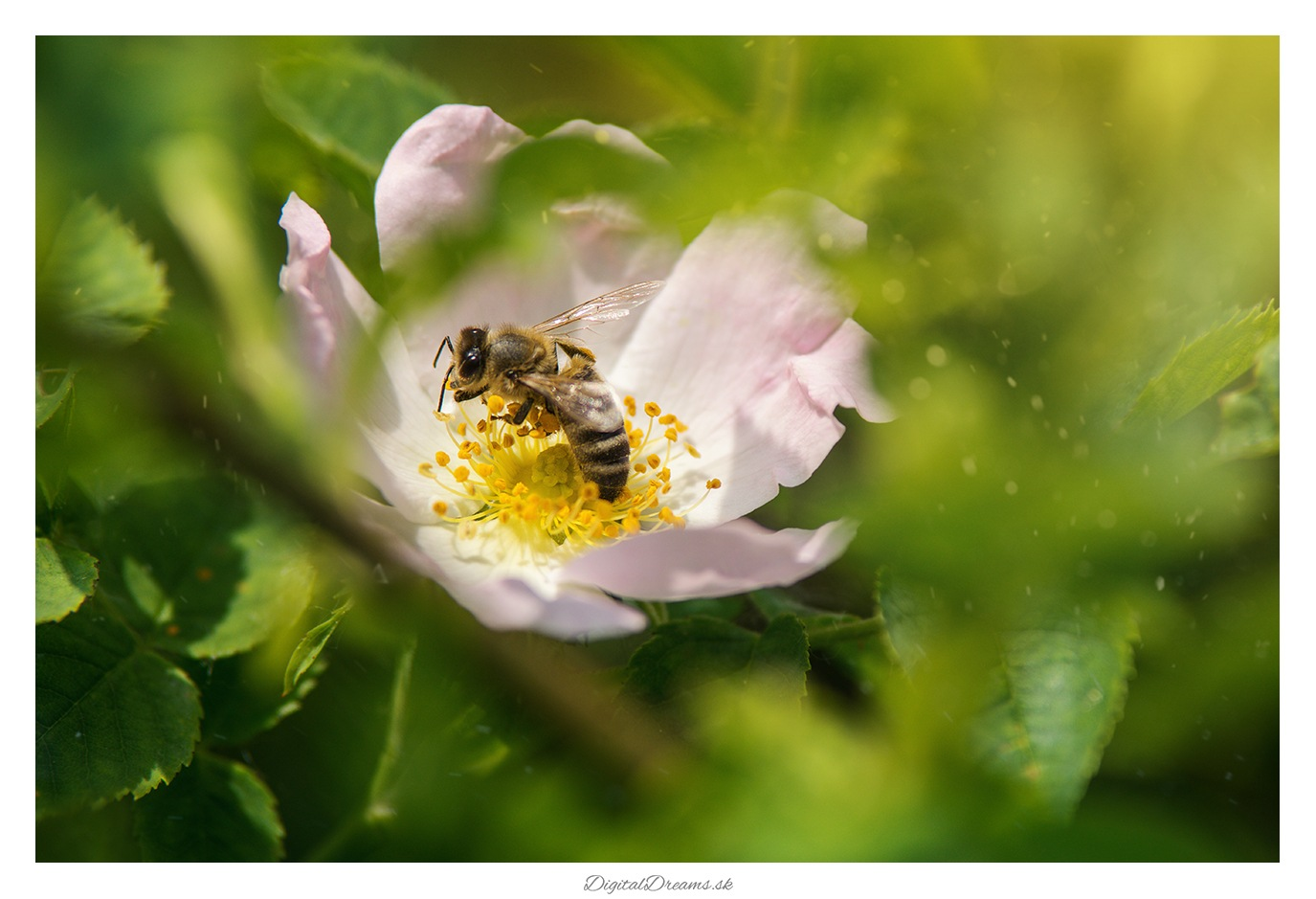 Bee by digitaldreams_sk