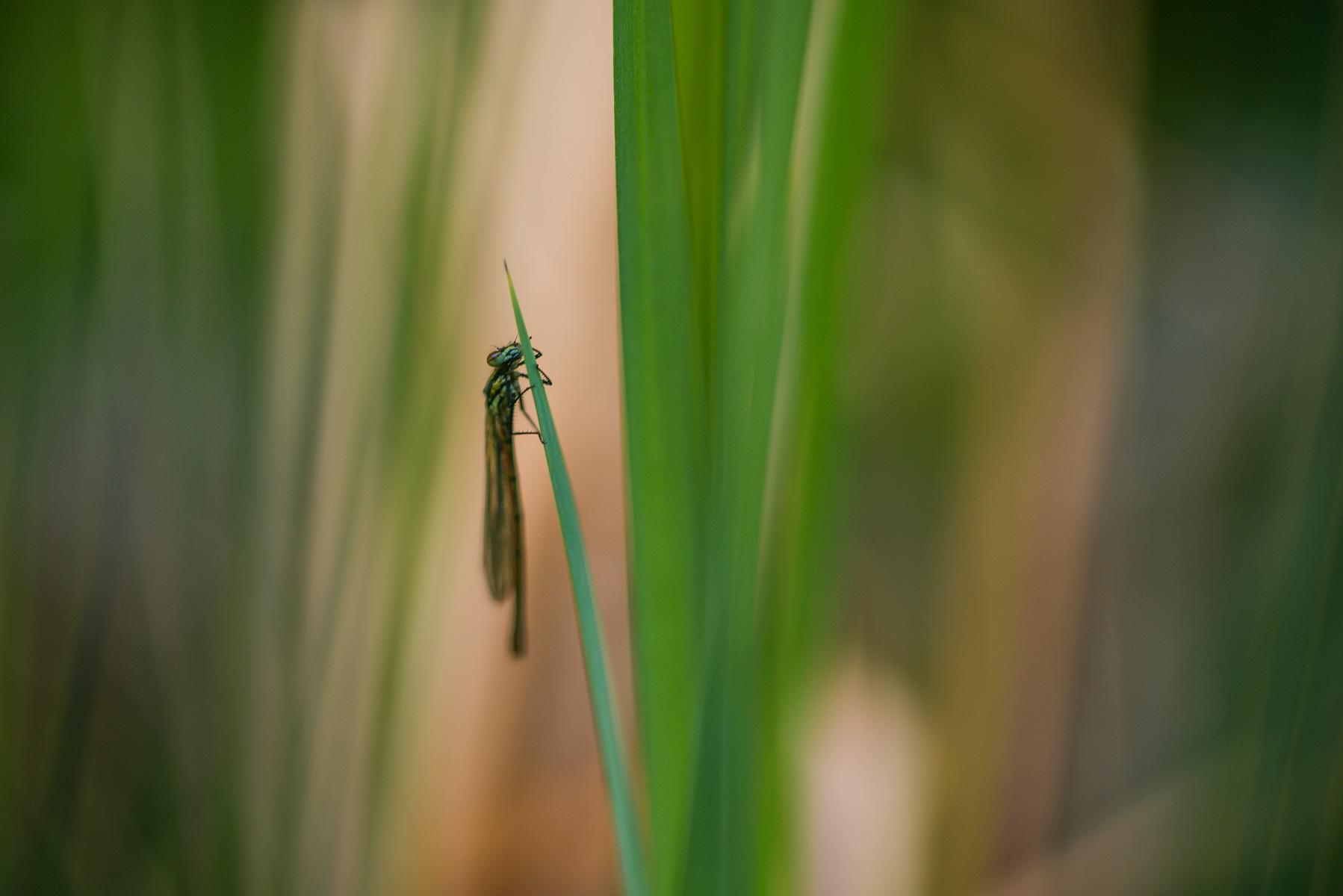 dragonfly by elu