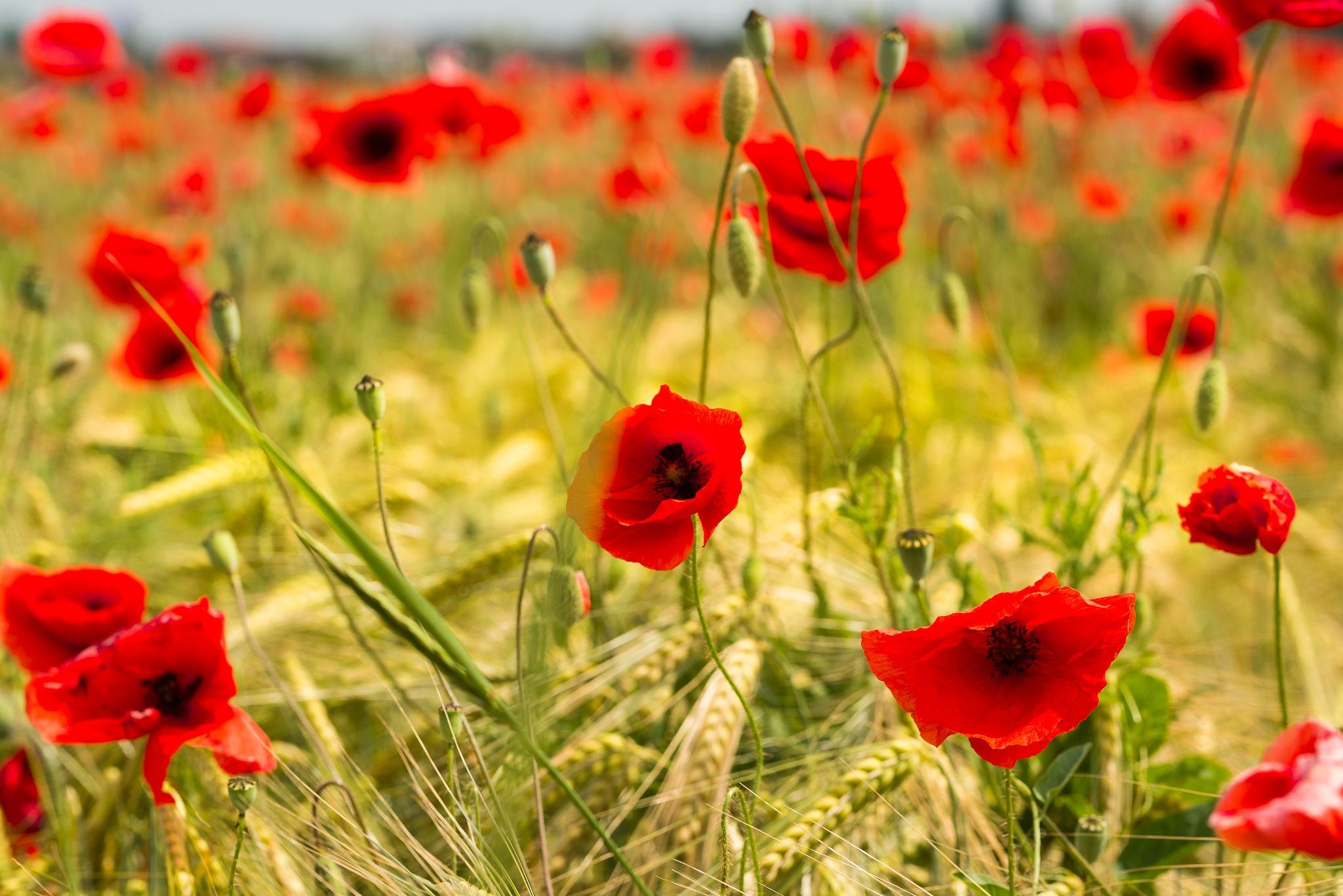 poppy on the field by elu