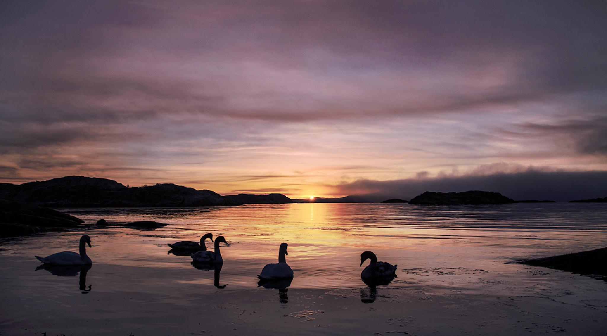 The swans in the sunrise by Syssy Jaktman