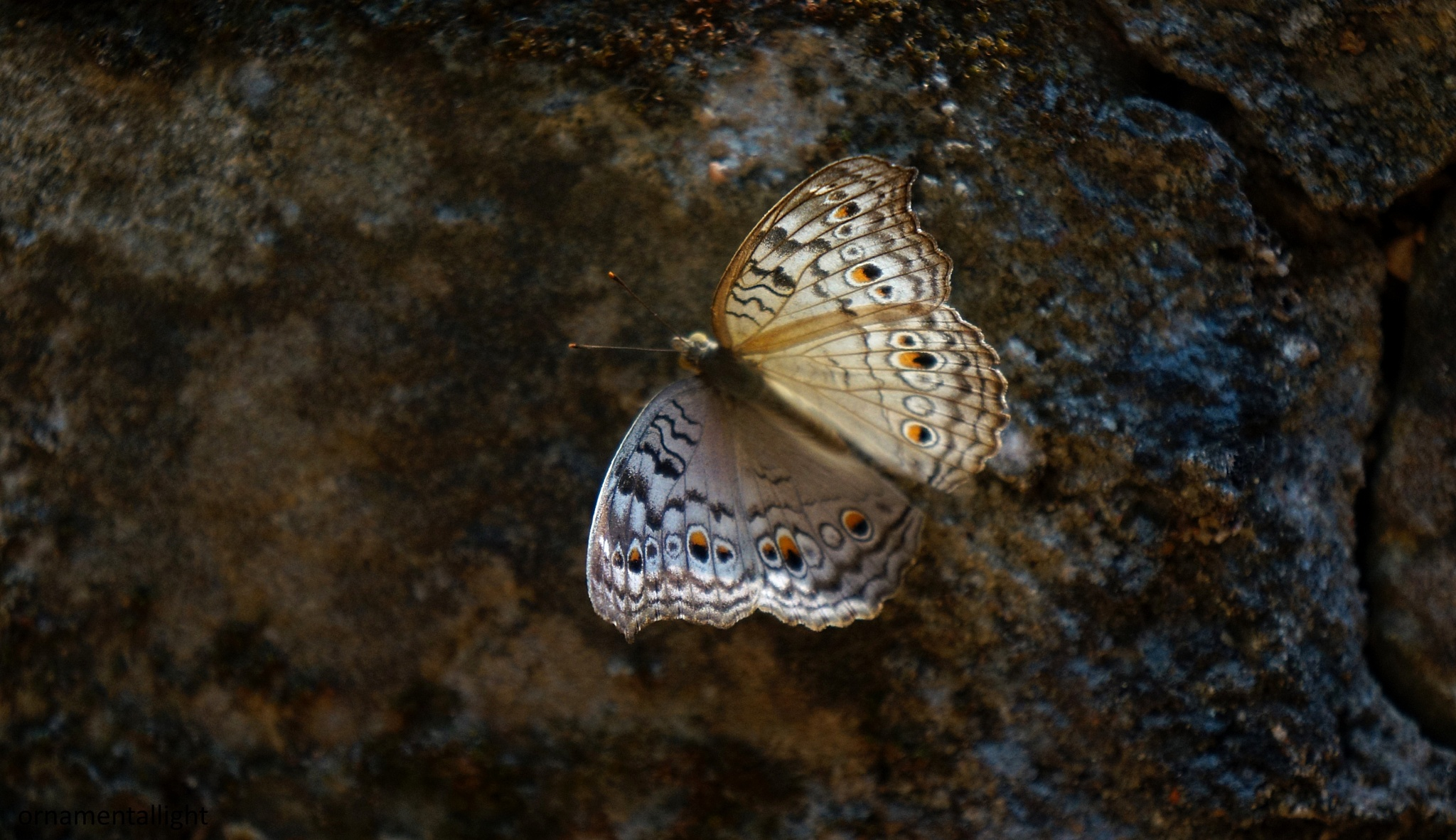 beauty by ornamentallight