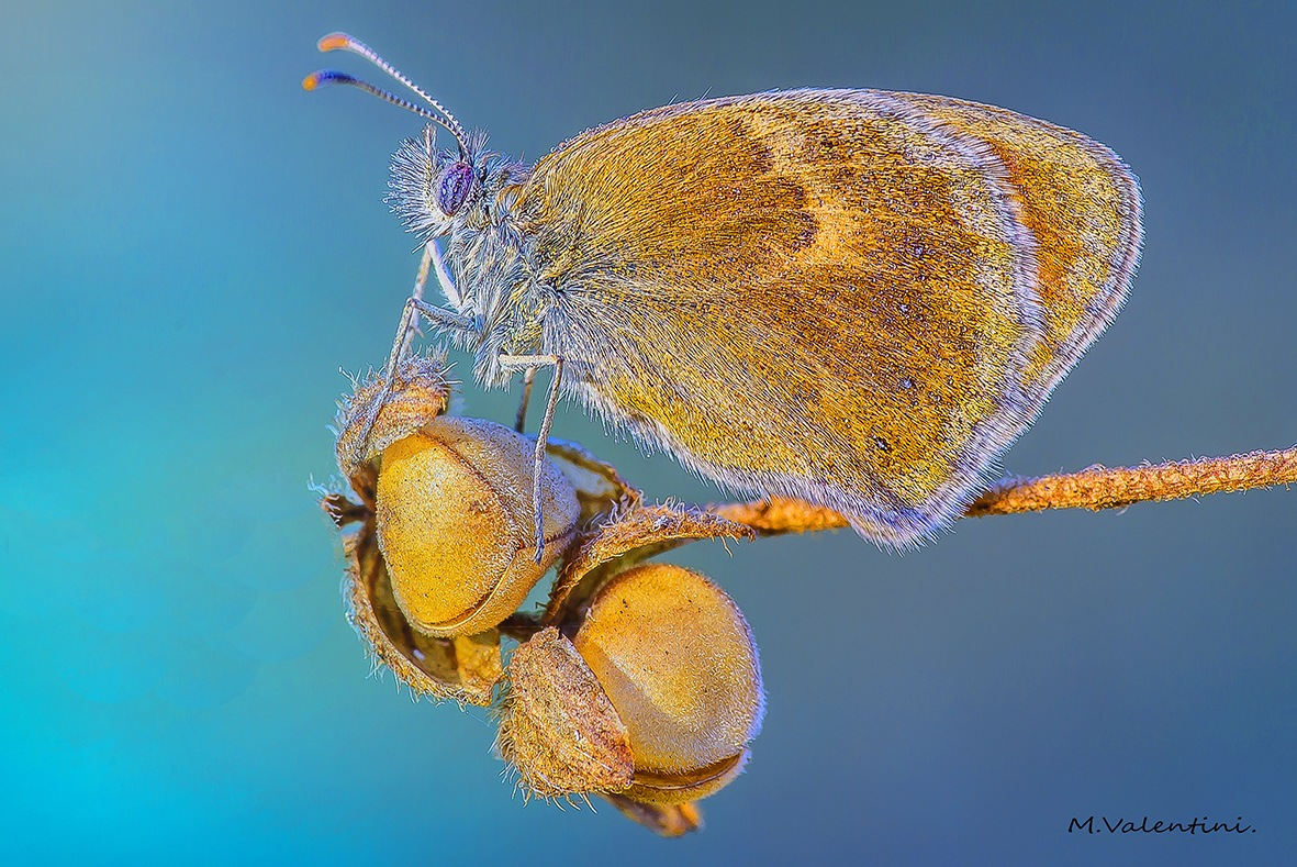 Coenonympha glycerion. by mario.valentini.7