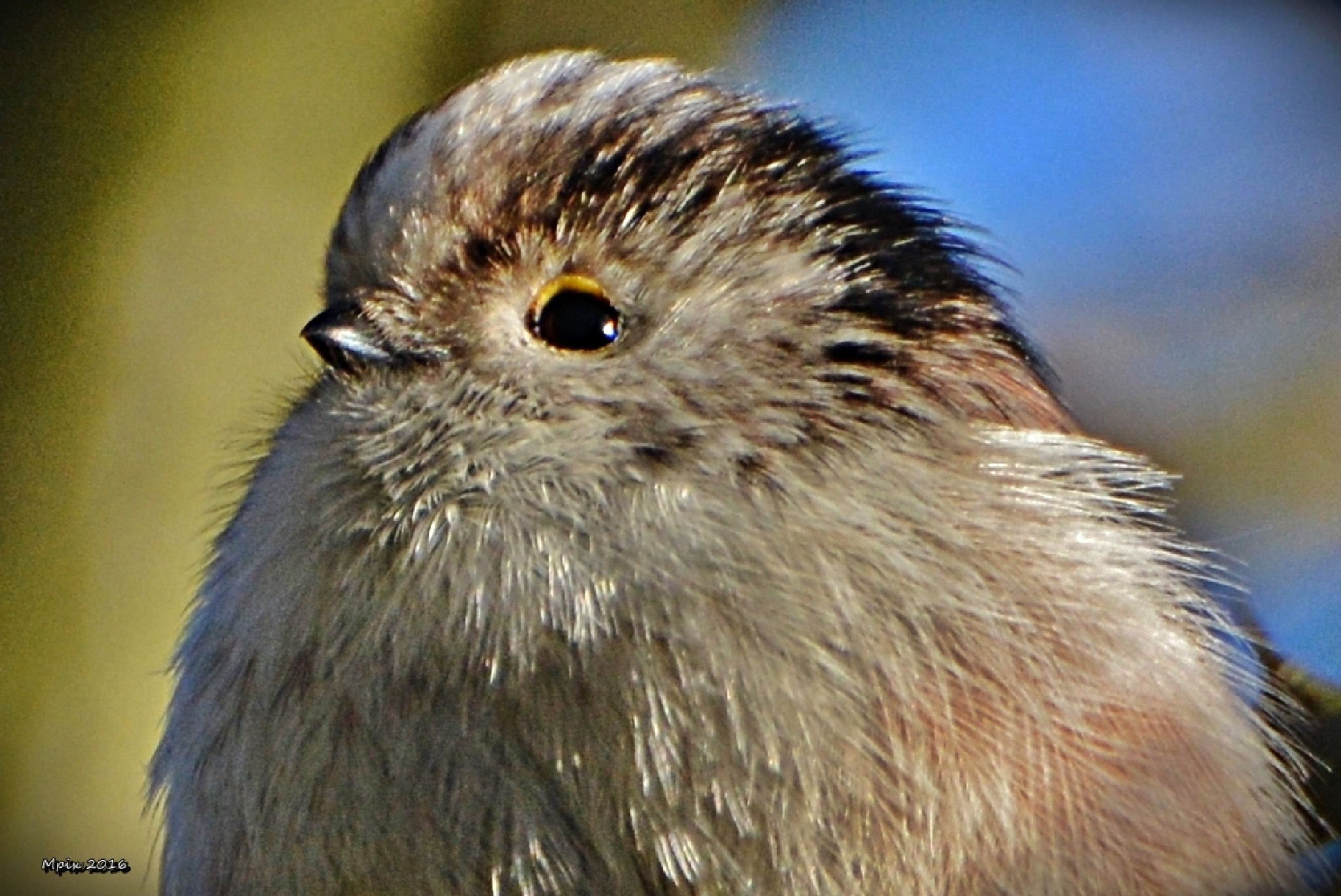 Tiny Tit.... by grandman57