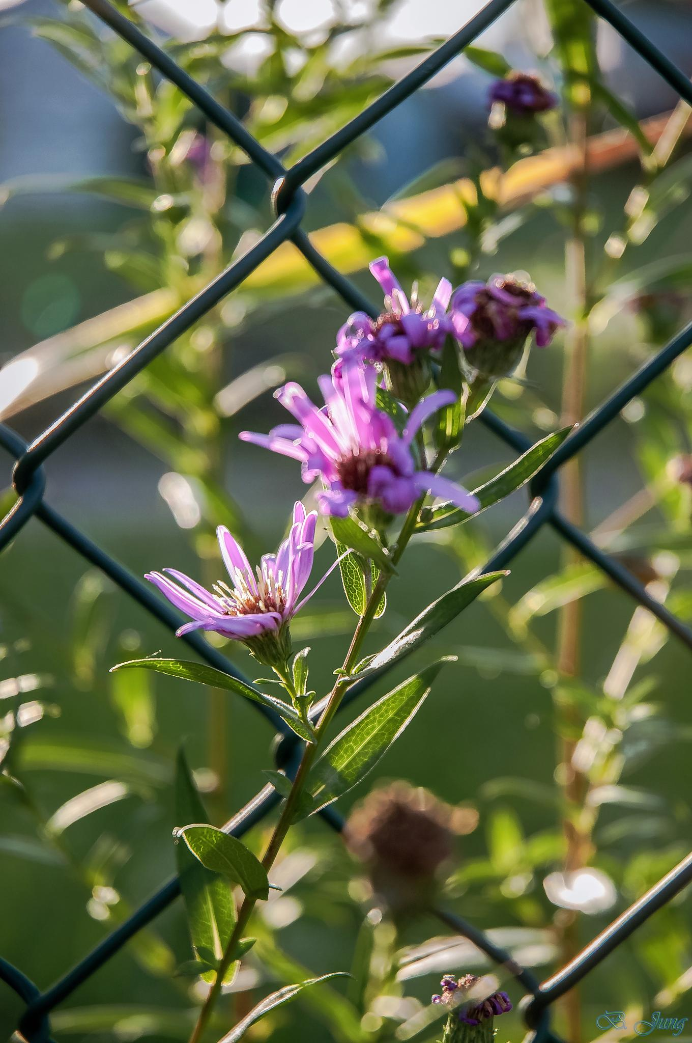 flower caught by the chain link fence by FOTO Bjoern