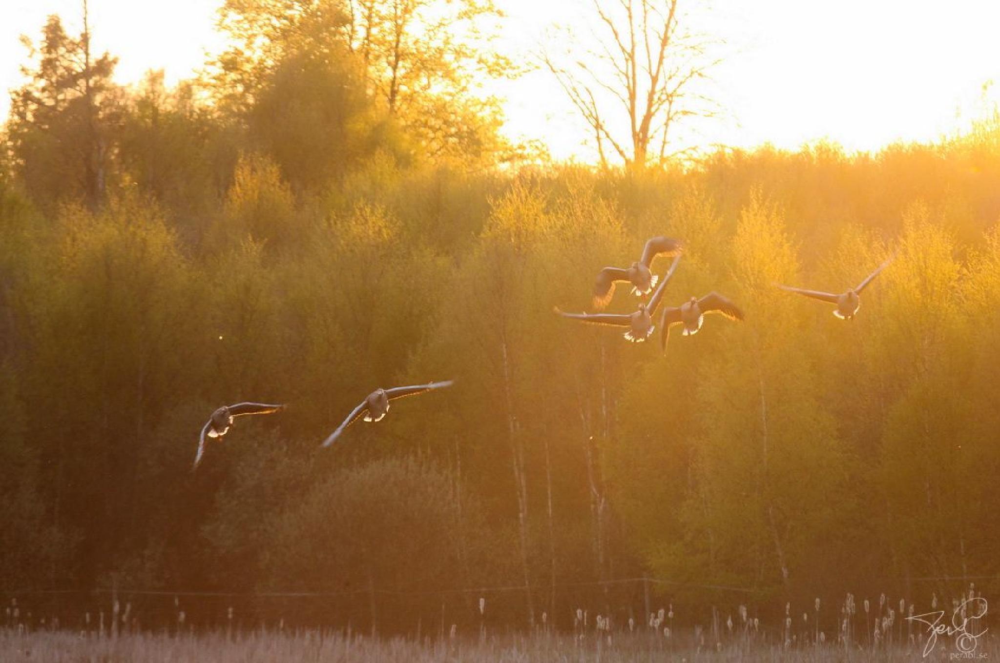 Golden wings by Per Lindskog