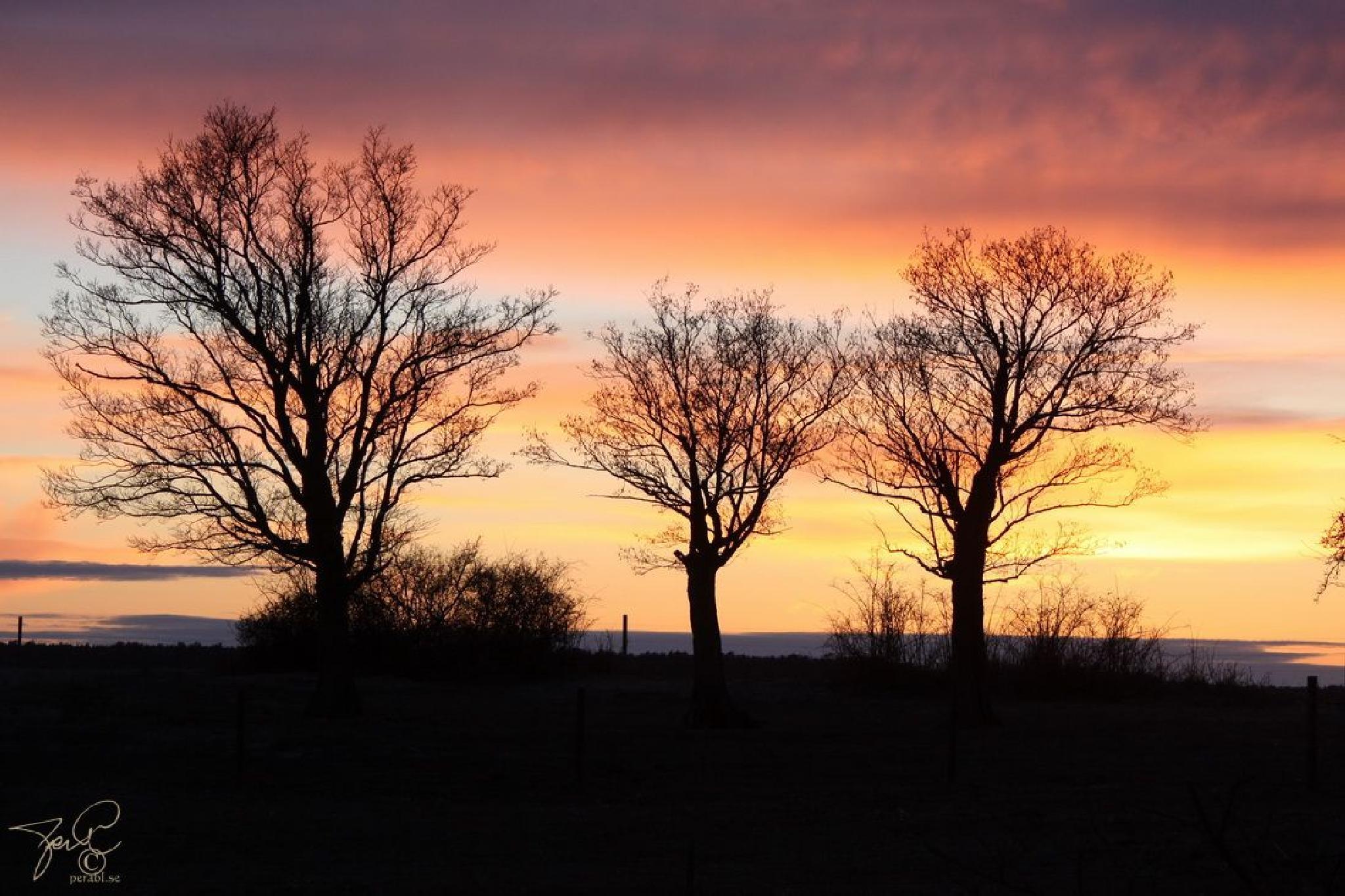 Trees in evening light by Per Lindskog