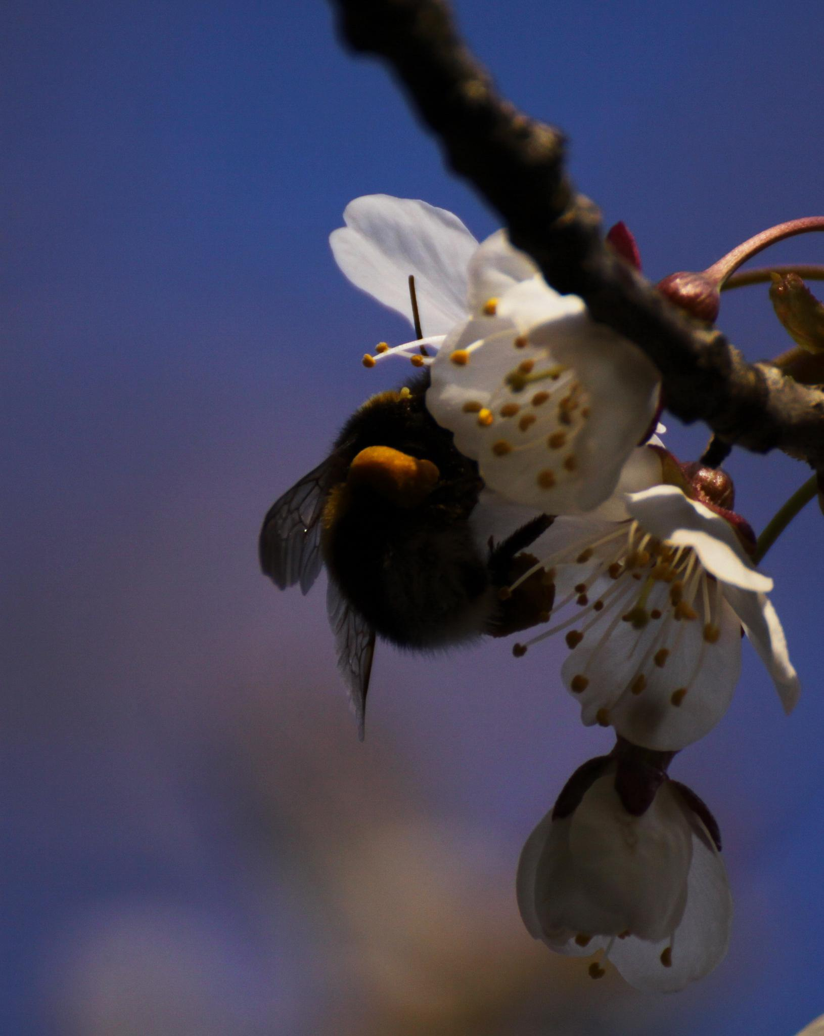 Photo in Animal #bumble bee #cherry flowers