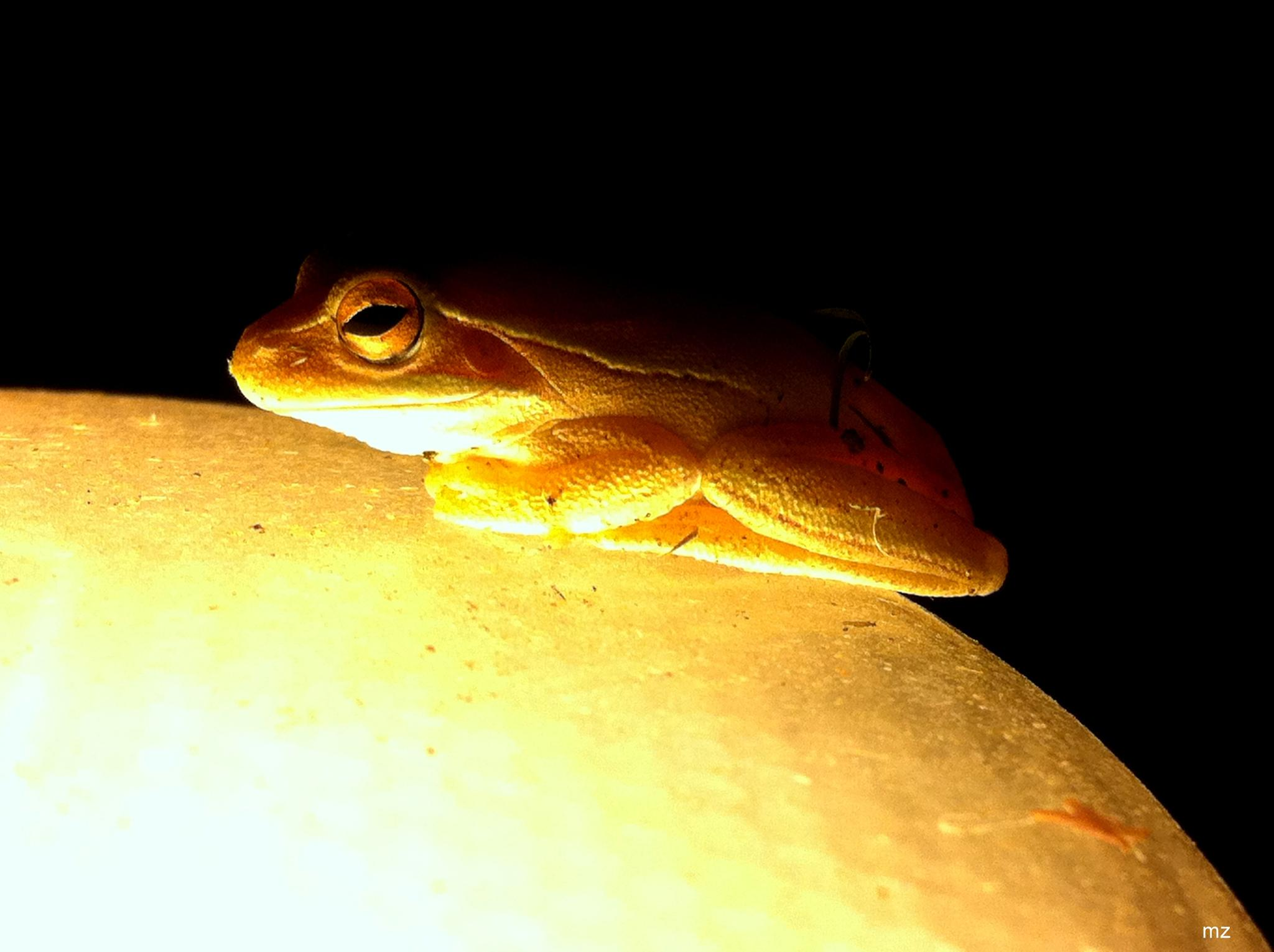 Tree frog by Mariano