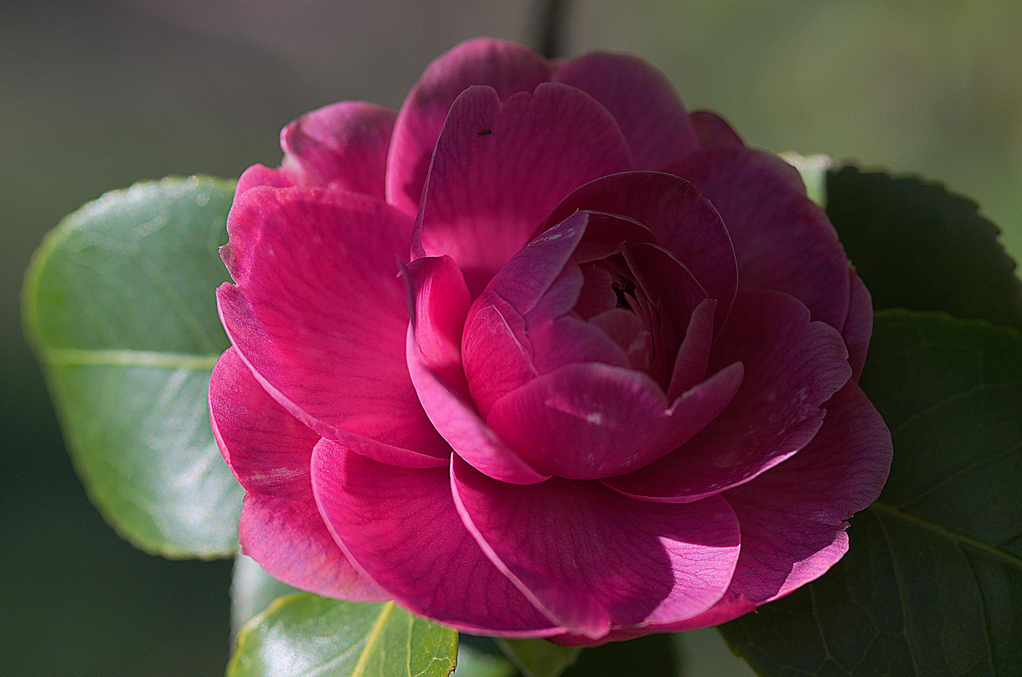 """Camellia flower 01"" by Isabel Saij"