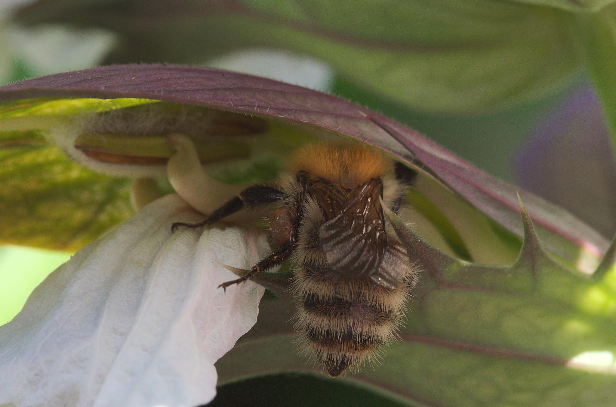 """Bourdon - fleur d'acanthe 03""  -  ""Bumblebee - acanthus flower"" by Isabel Saij"
