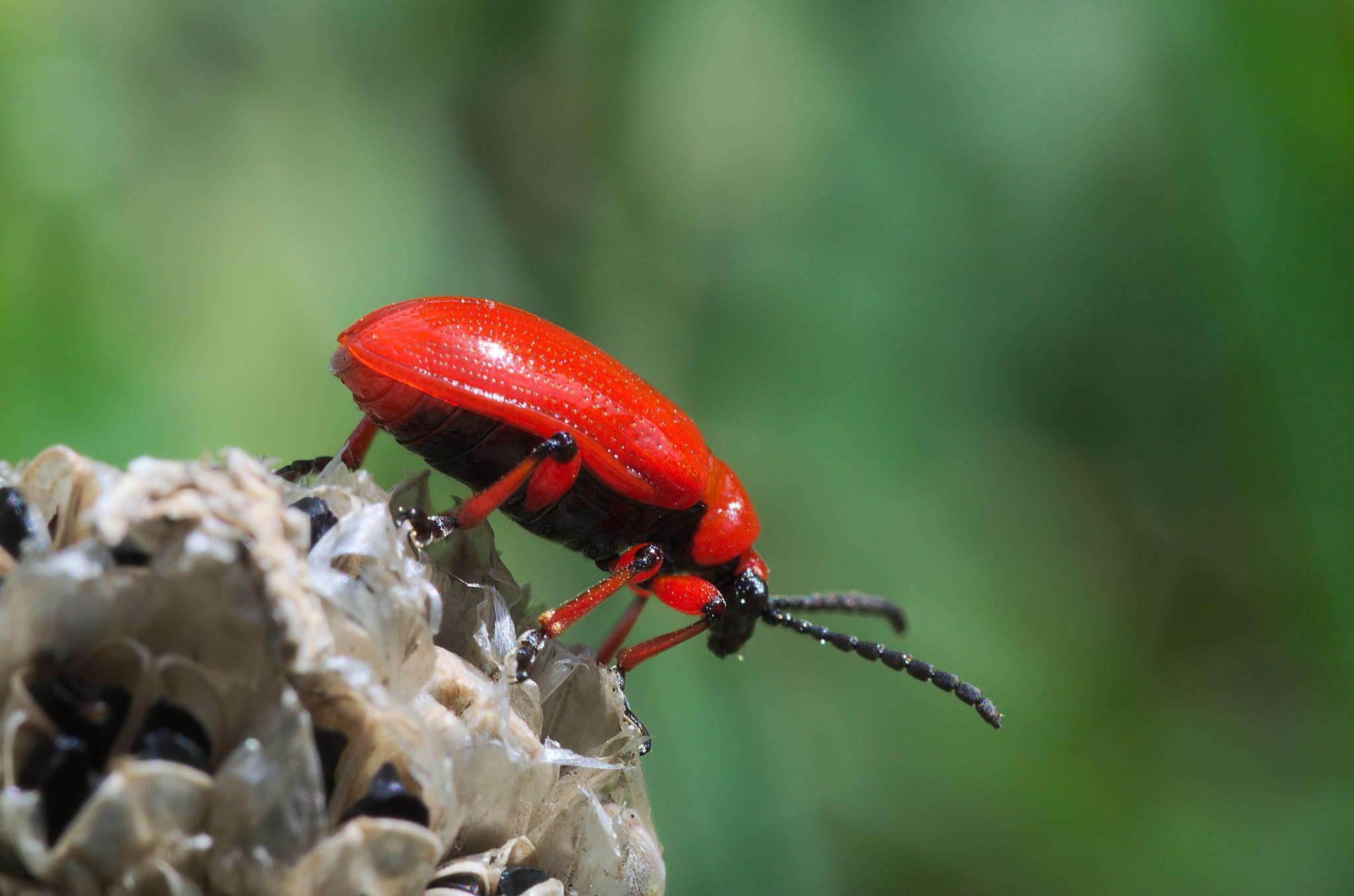 """Criocere du lys 08""  -  ""Scarlet lily beetle"" - ""Lilioceris lilii"" by Isabel Saij"