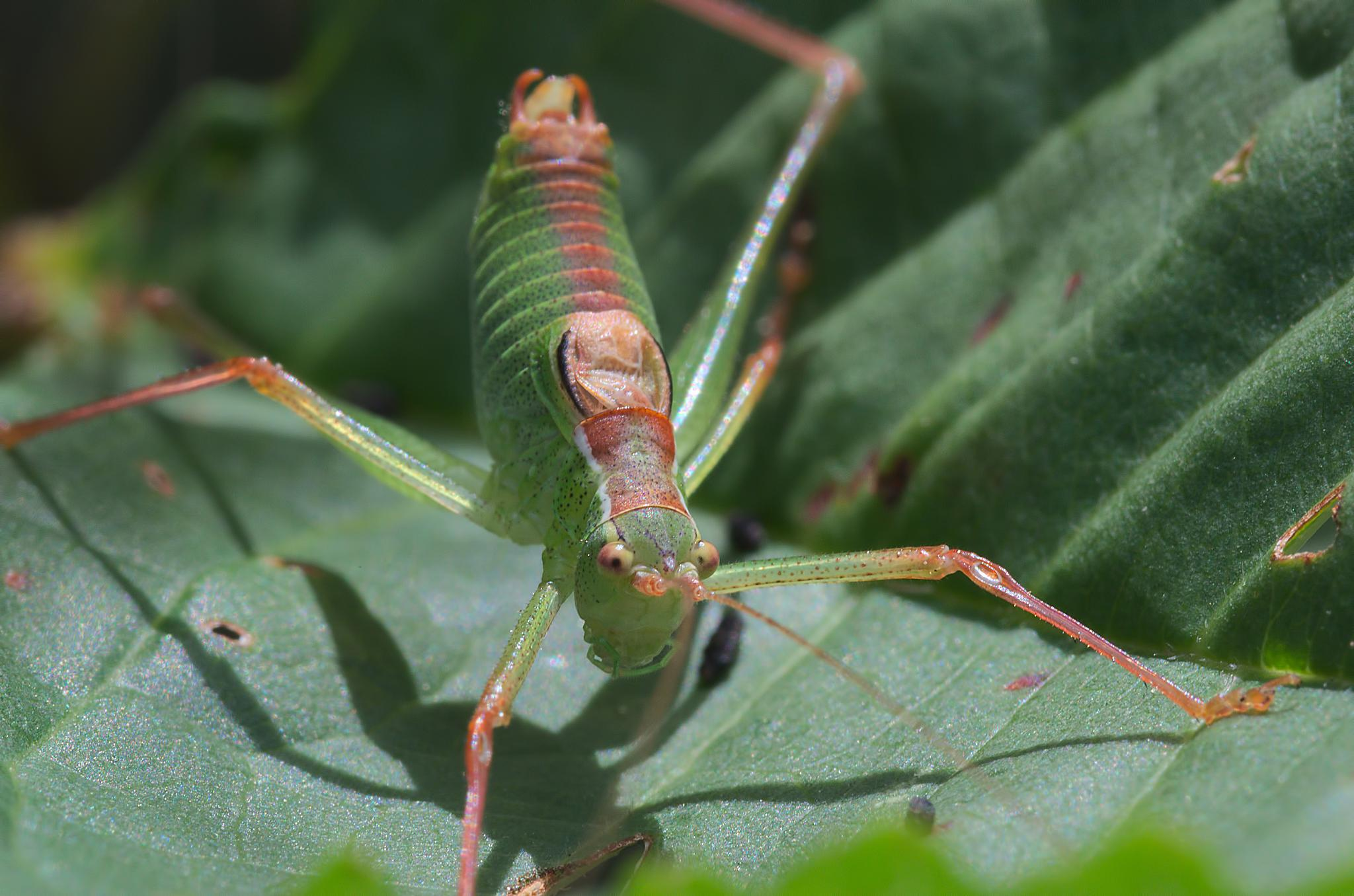 """Sauterelle ponctuee 05""  -  ""Speckled bush-cricket""  -  ""Leptophyes punctatissima"" by Isabel Saij"
