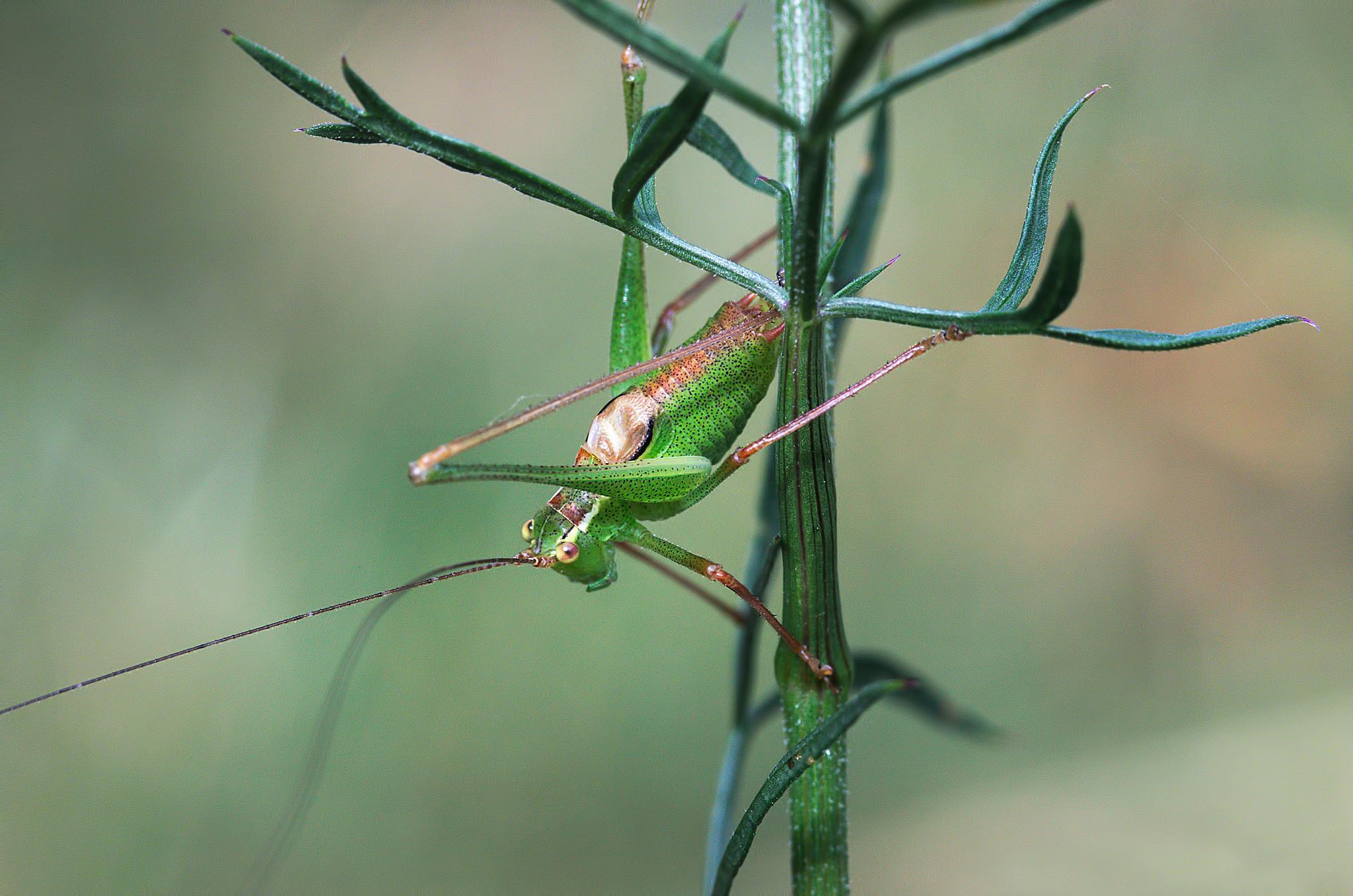 """Sauterelle ponctuee 06""  -  ""Speckled bush-cricket""  -  ""Leptophyes punctatissima"" by Isabel Saij"