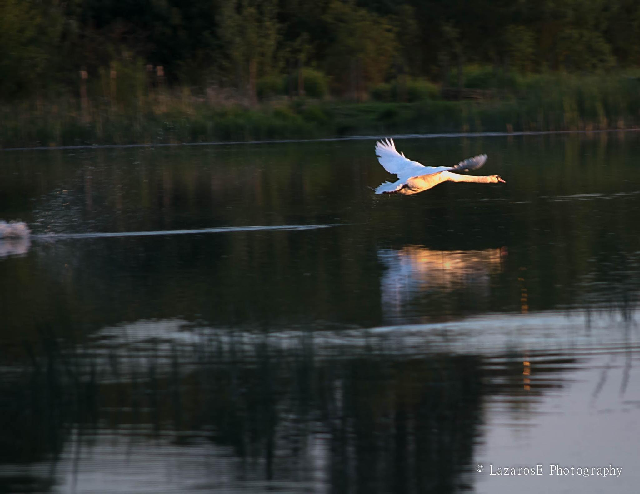 Swan by Lazaros