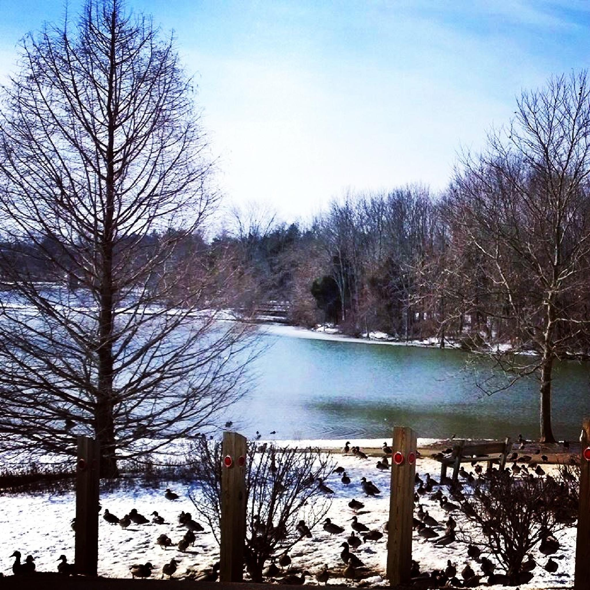 Ducks by the Winter lake by marie.short.18