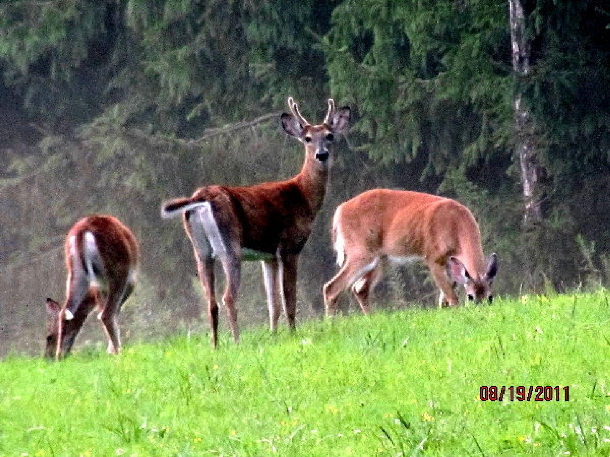 deer by cheryl.peters.9615