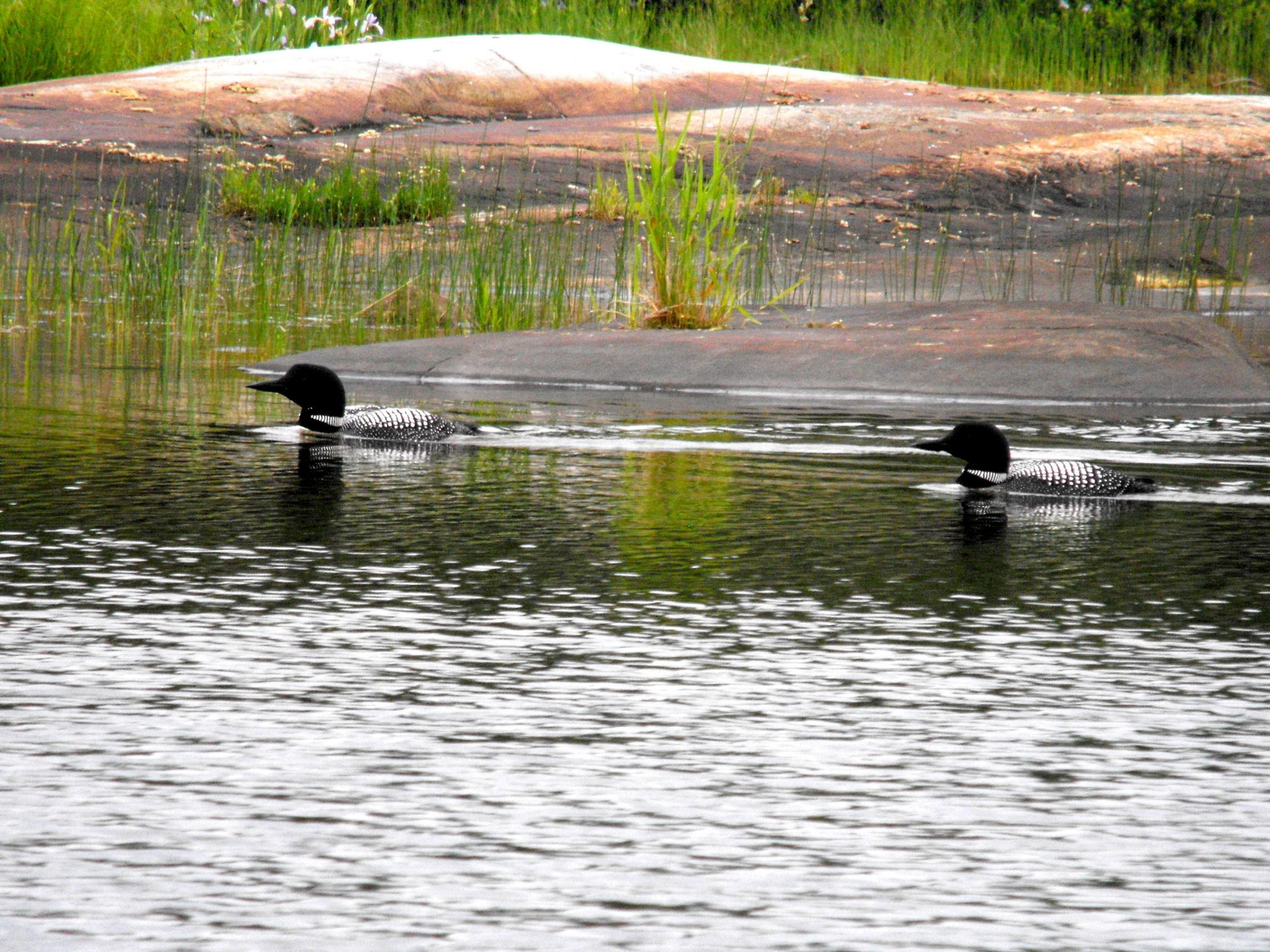 Loons on the Georgian Bay by cheryl.peters.9615
