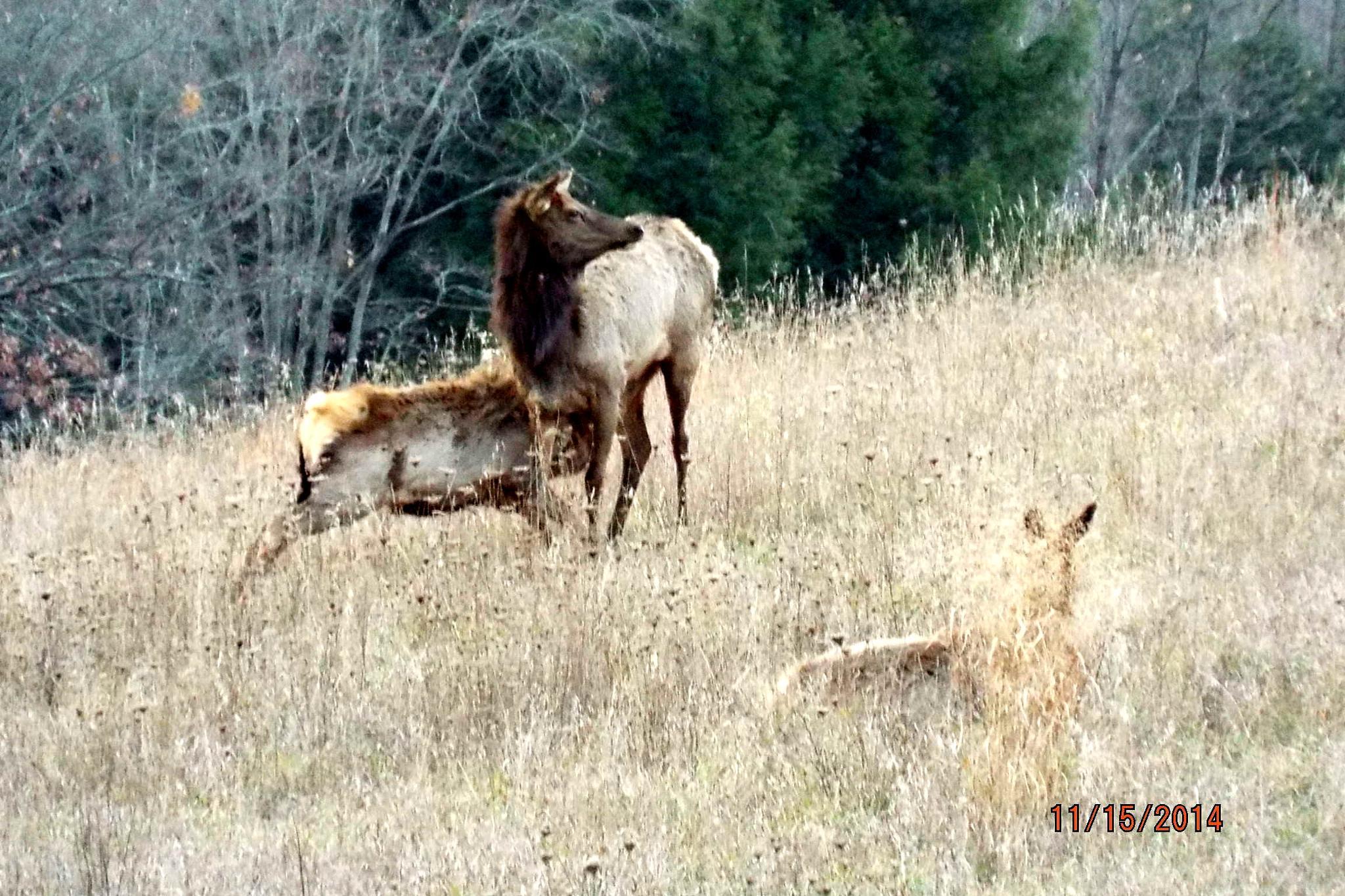 Elk Cow & Calf by cheryl.peters.9615