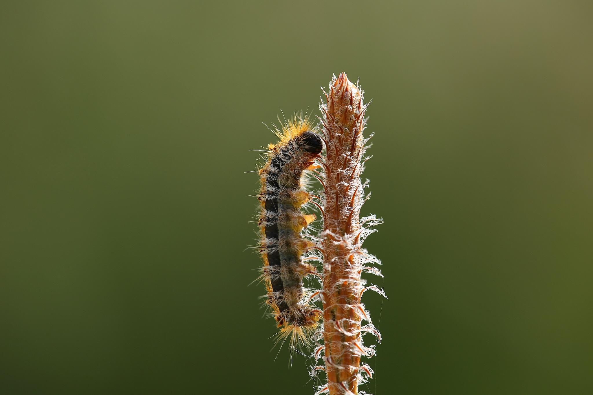 Thaumetopea pityocampa by bulentboz