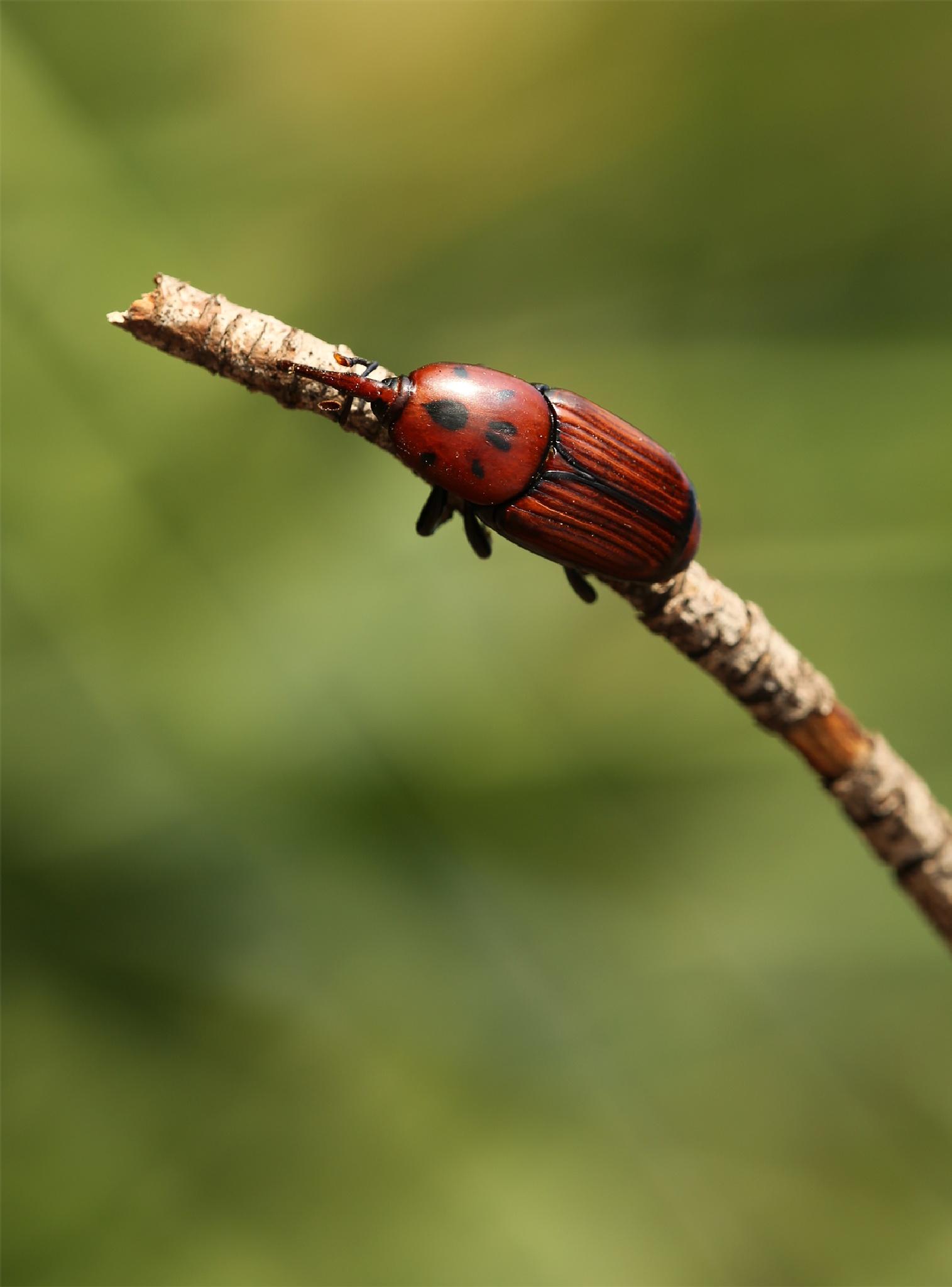Rhynchophorus ferrugineus  by bulentboz