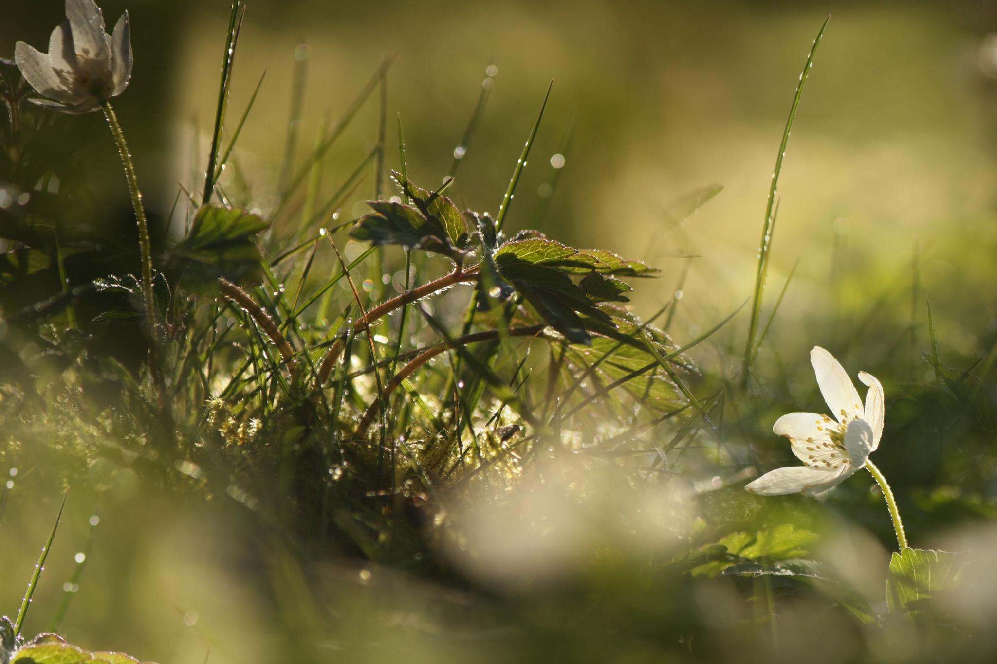 Photo in Nature #wood anemone #grass #light #water drops