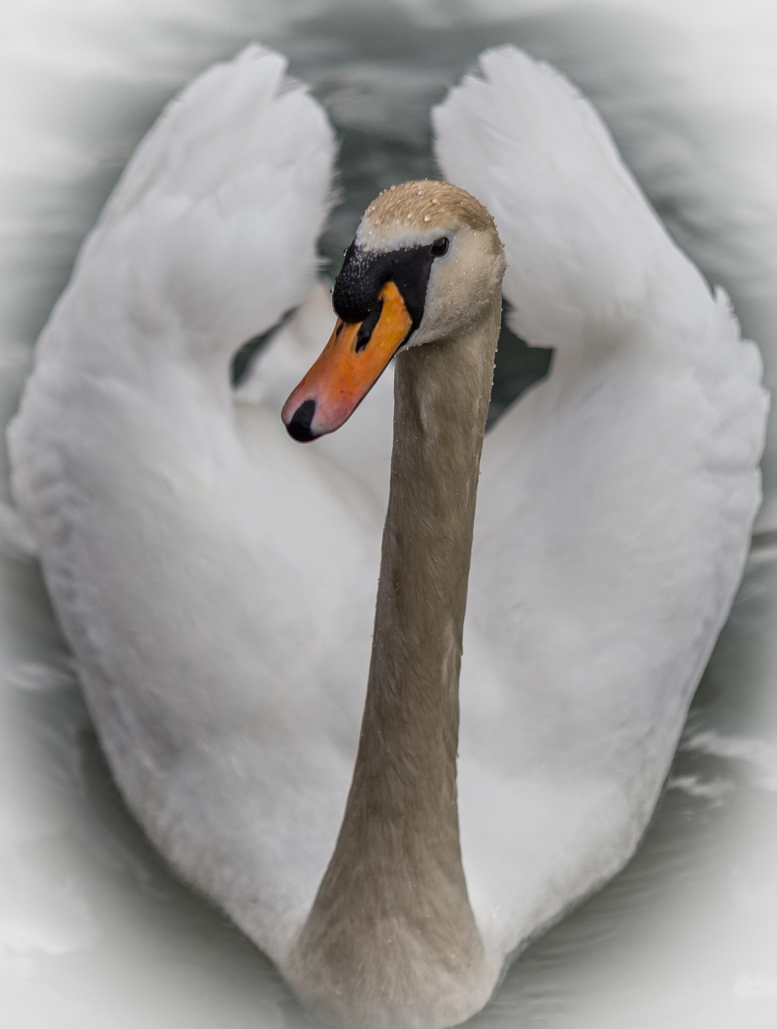 Swan by zoran velickovski