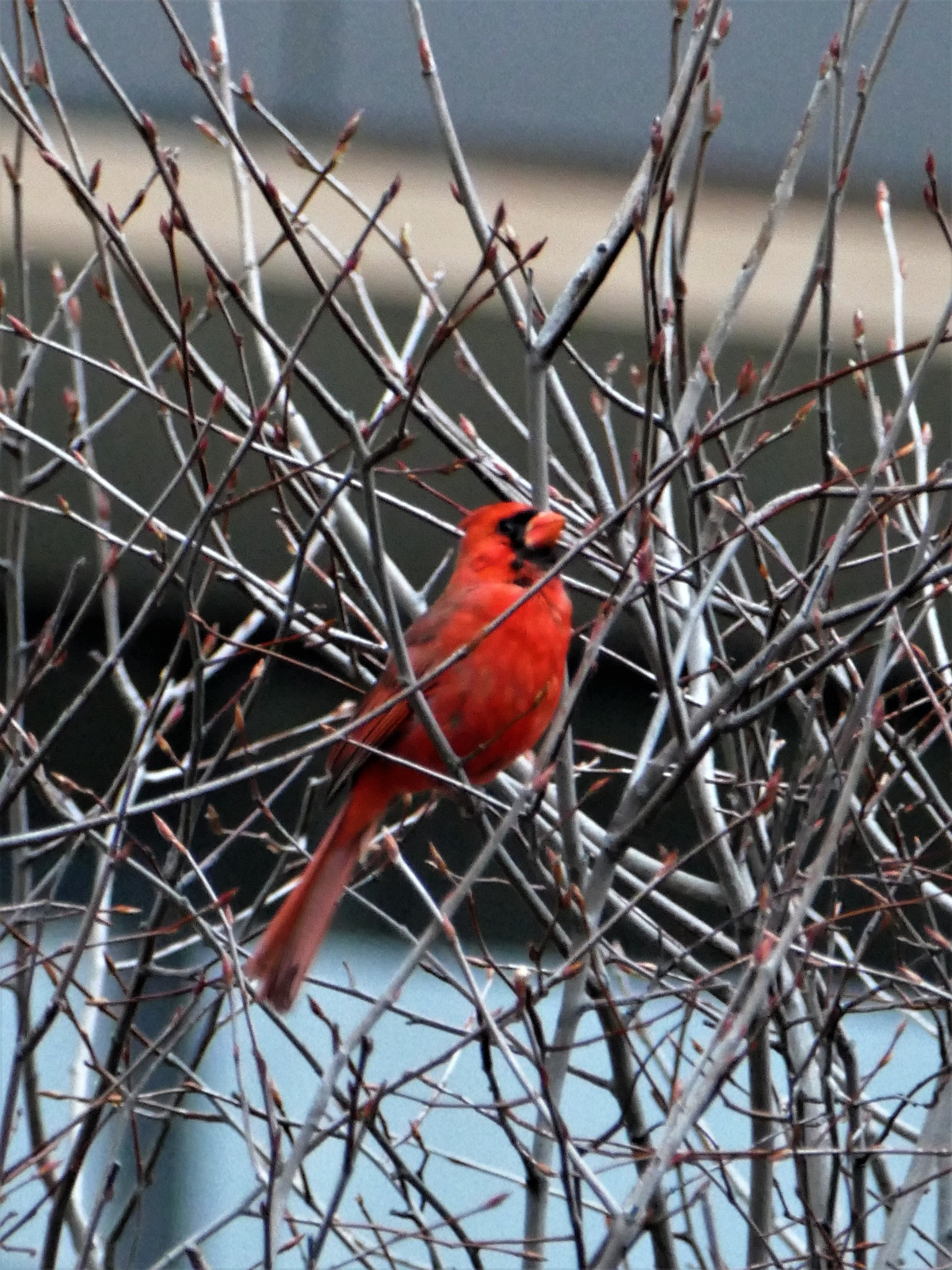 Cardinal ( In Red) by jim.shaw.1238