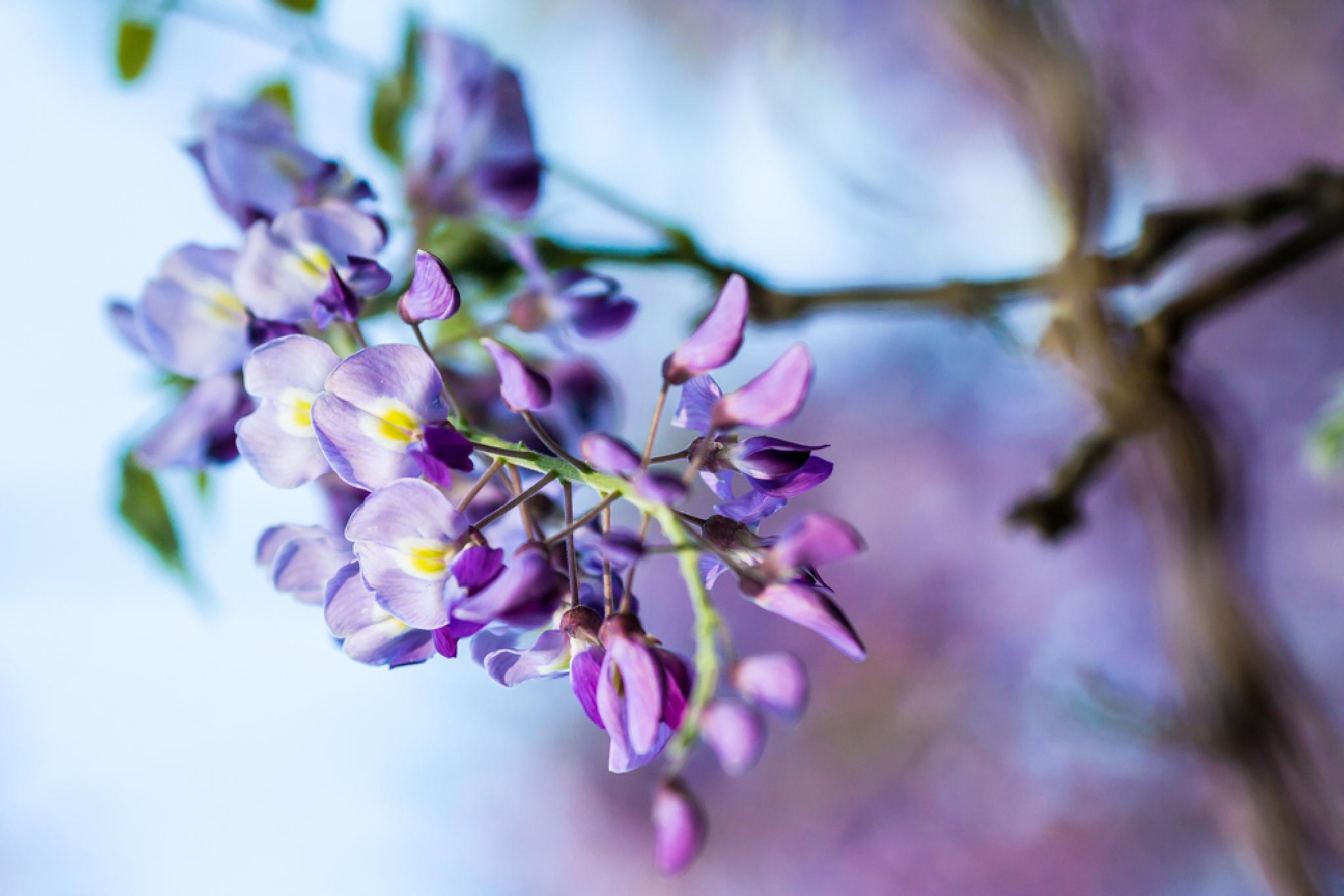 Wisteria by The Butterfly Huntress