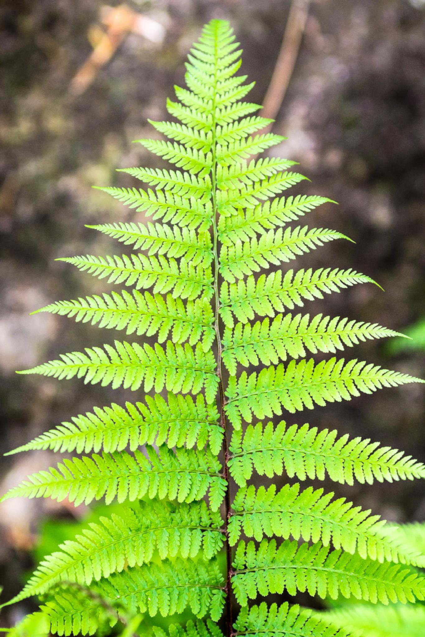 Fern Leaf by The Butterfly Huntress