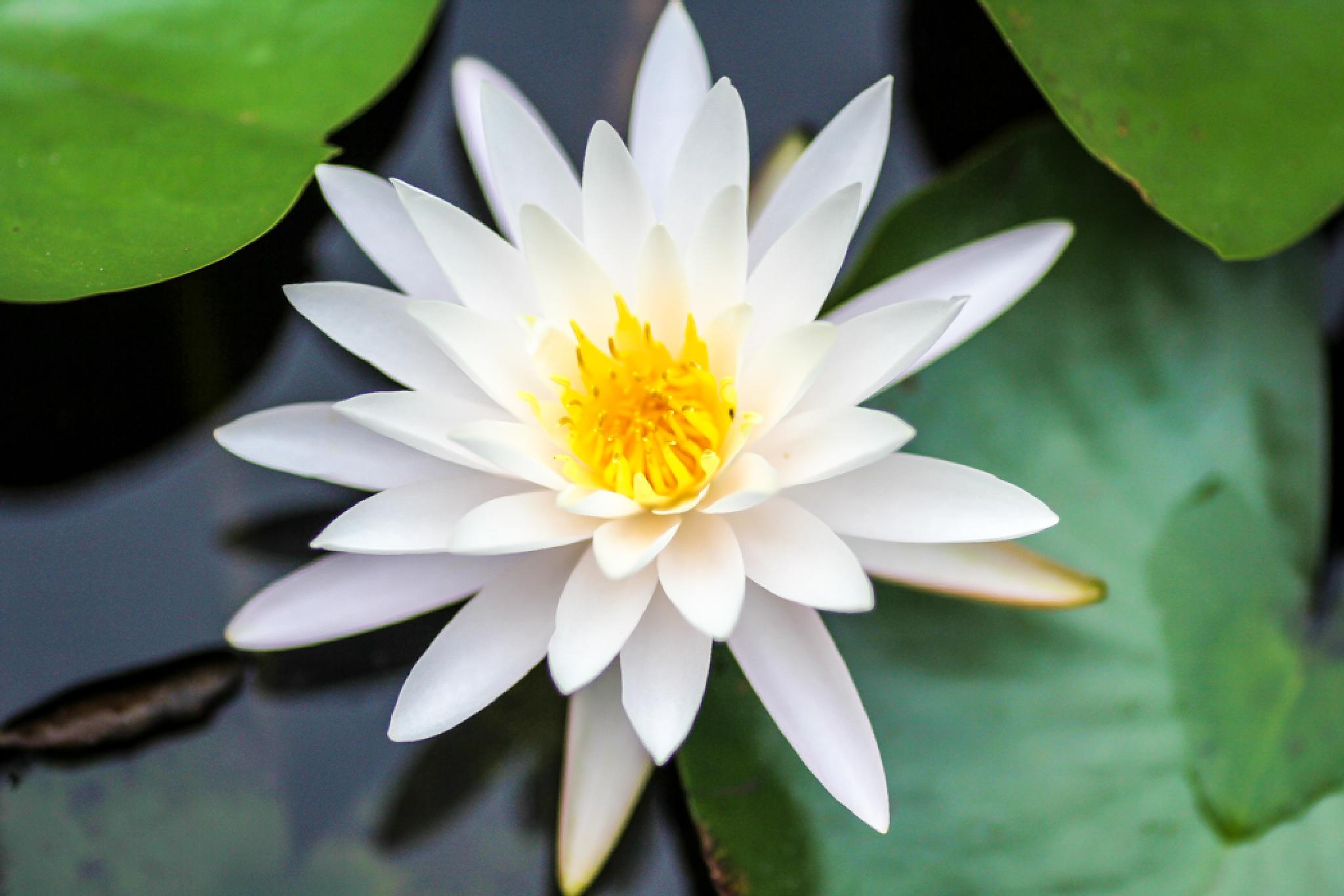 Water Lily  by The Butterfly Huntress