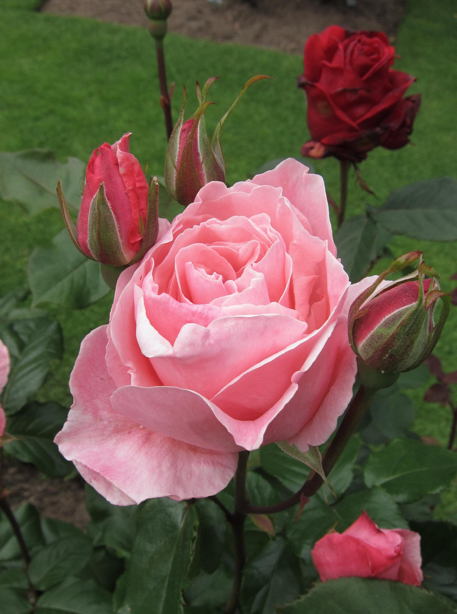 Impeccable Rose by Carolyn Chase