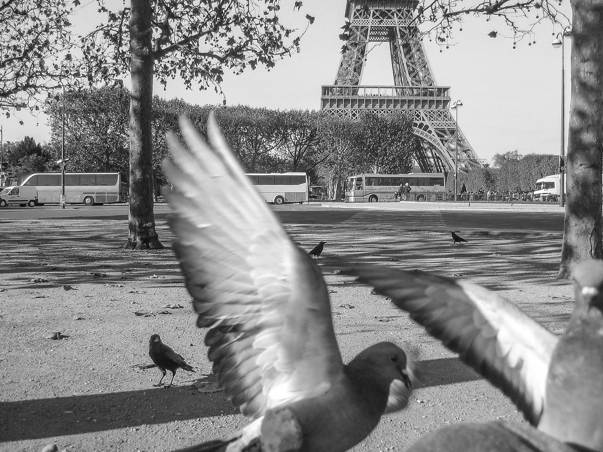 Pigeons of Paris! by Carolyn Chase