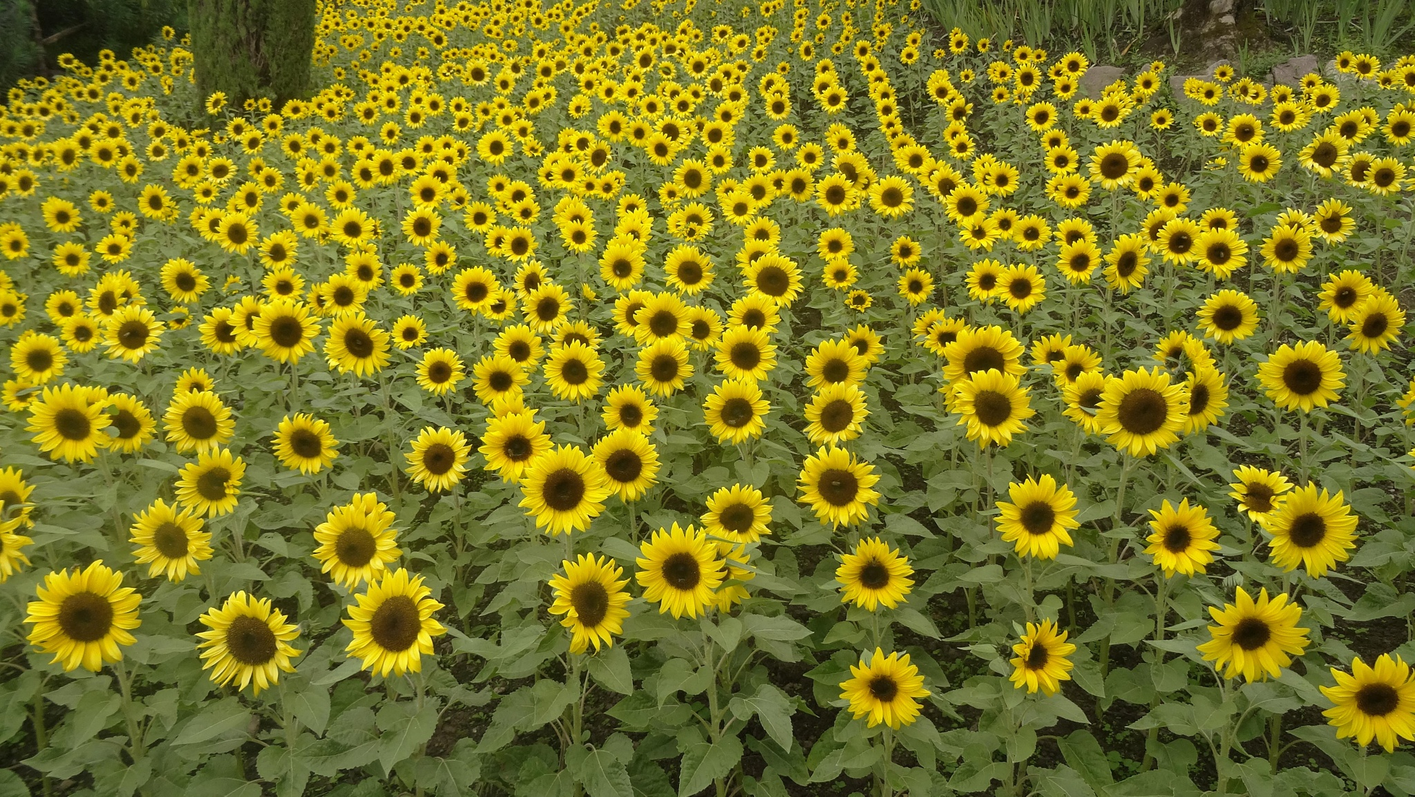Sunflowers, Gardens of Trauttmansdorff Castle by Carolyn Chase