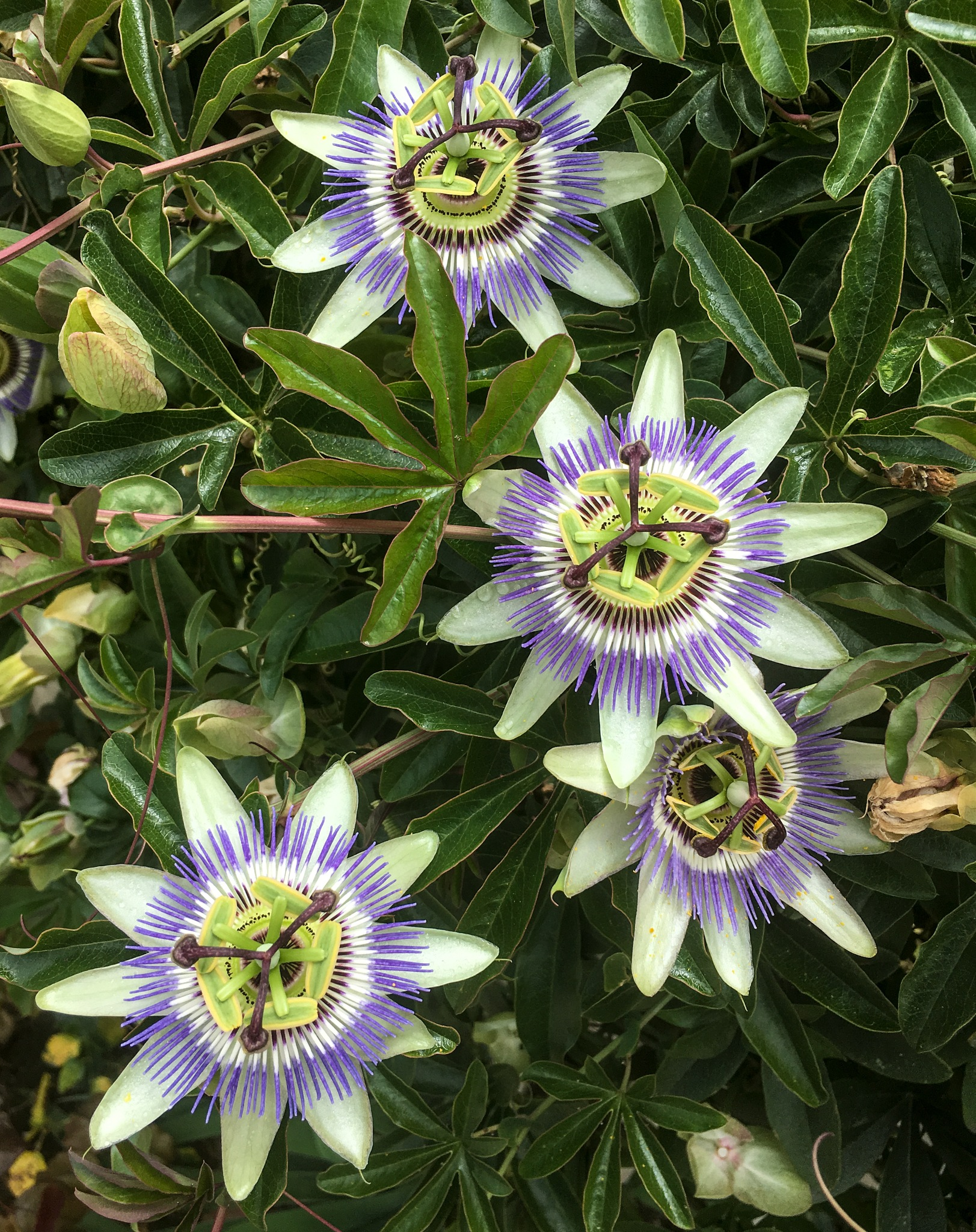 Passion Flowers! by Carolyn Chase