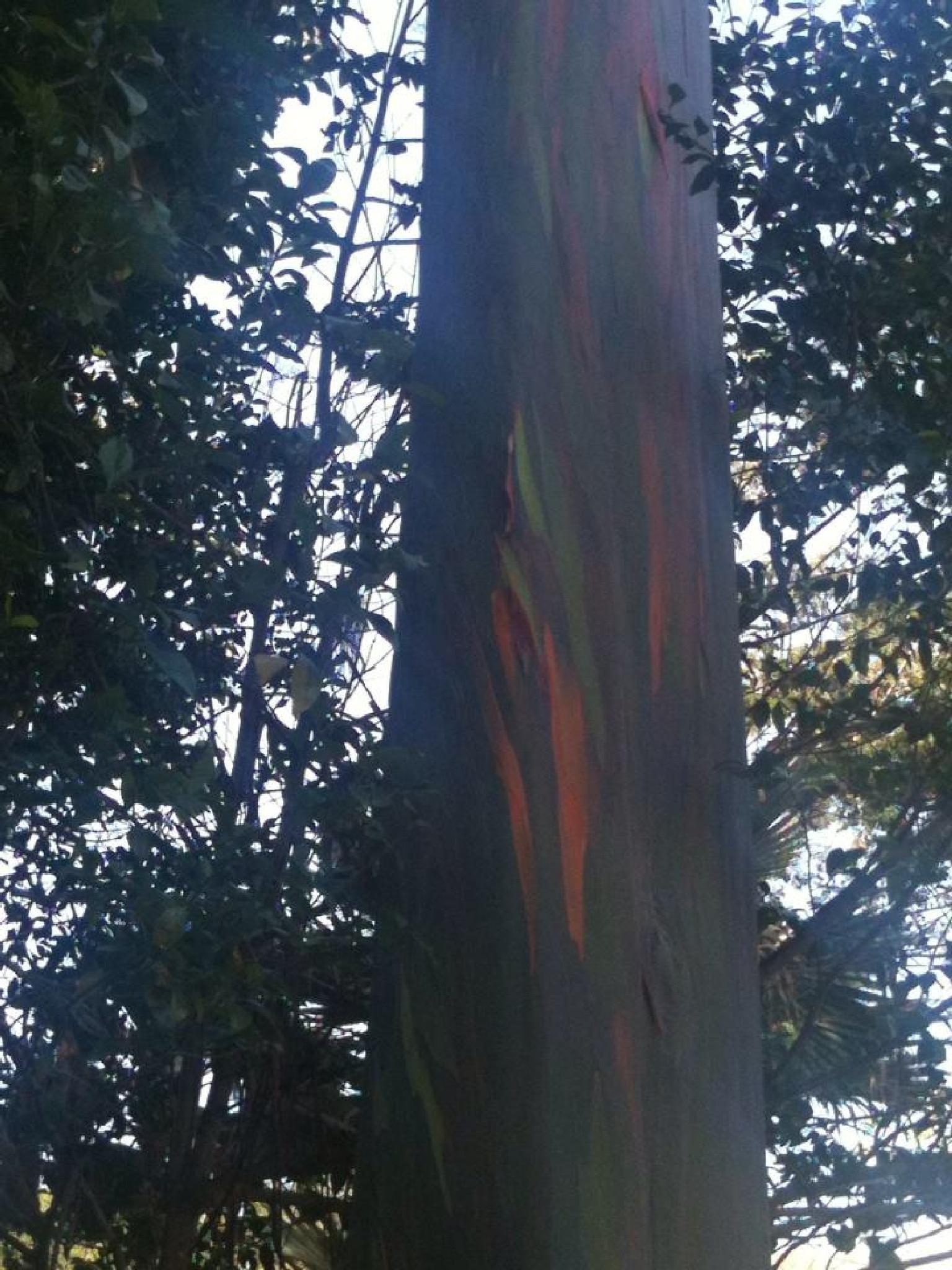 Painted Eucalyptus Tree  by netty716