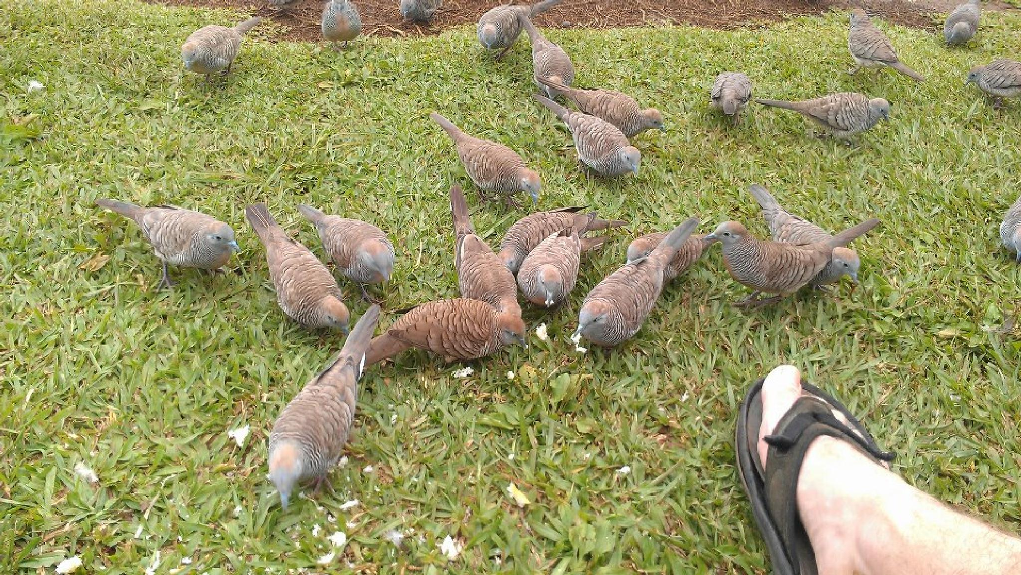 Feeding the Doves in Hawaii by netty716