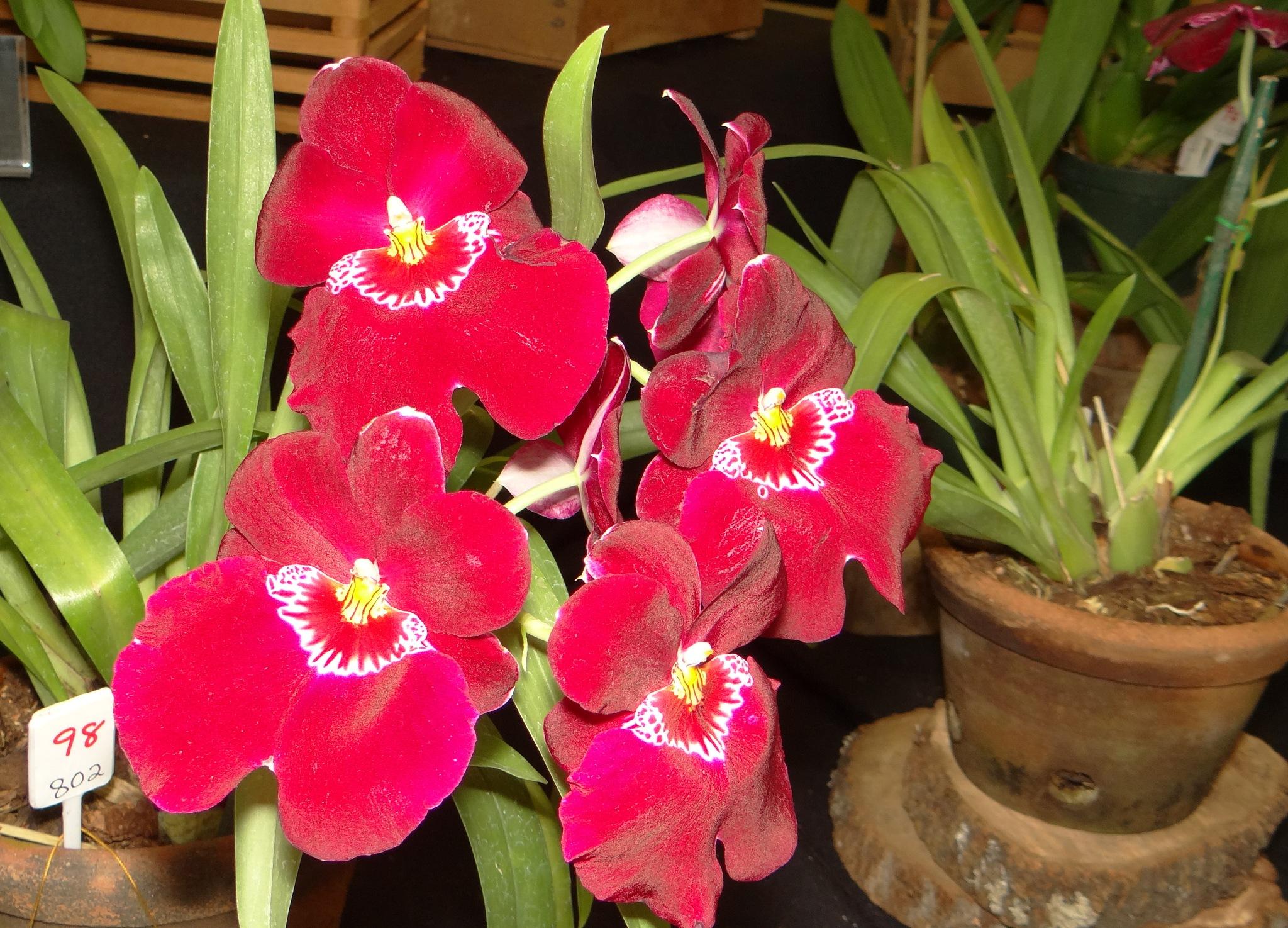 Orquídeas Pensamiento by vladybachez