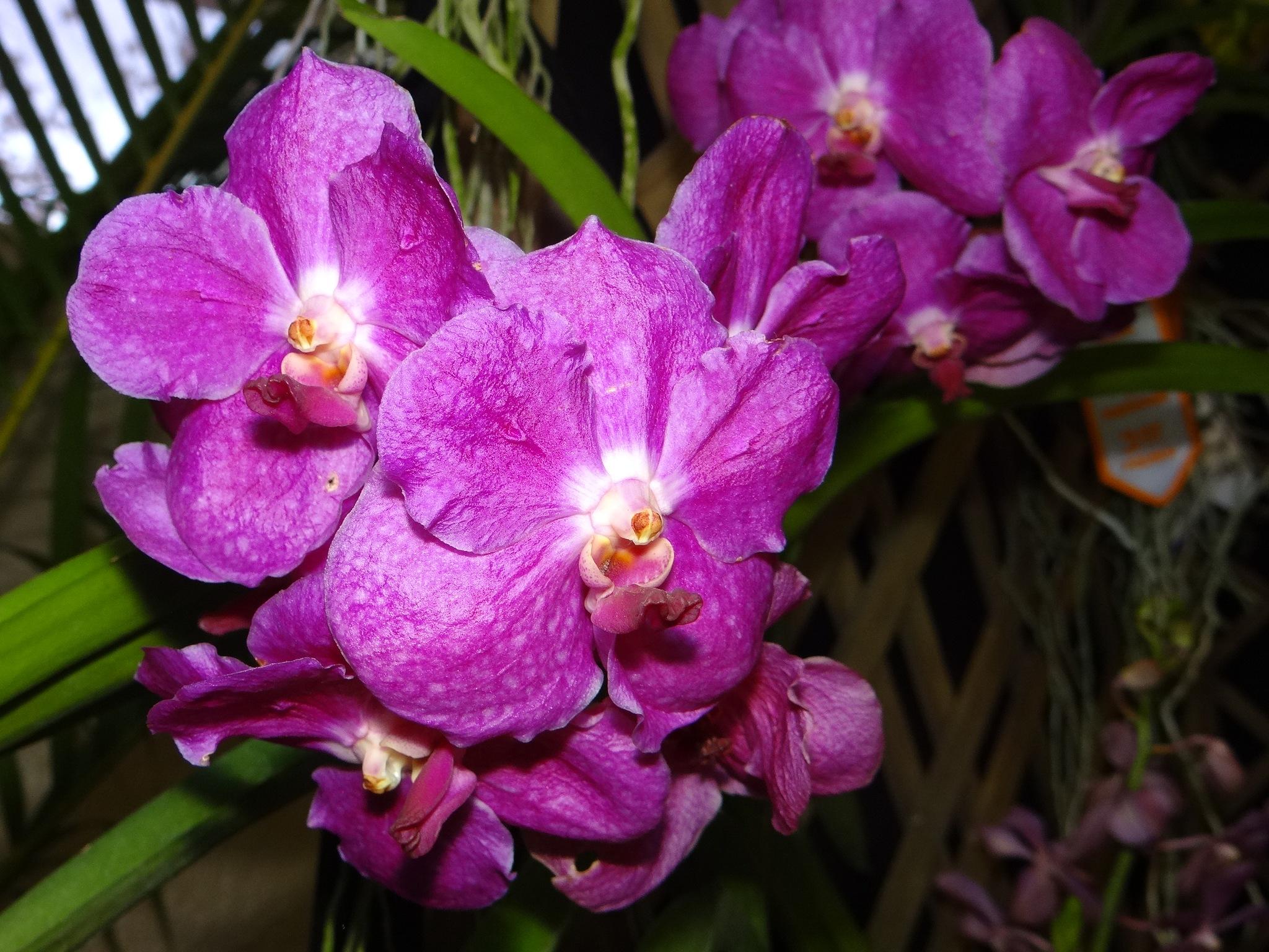 Orquídeas Vanda  by vladybachez