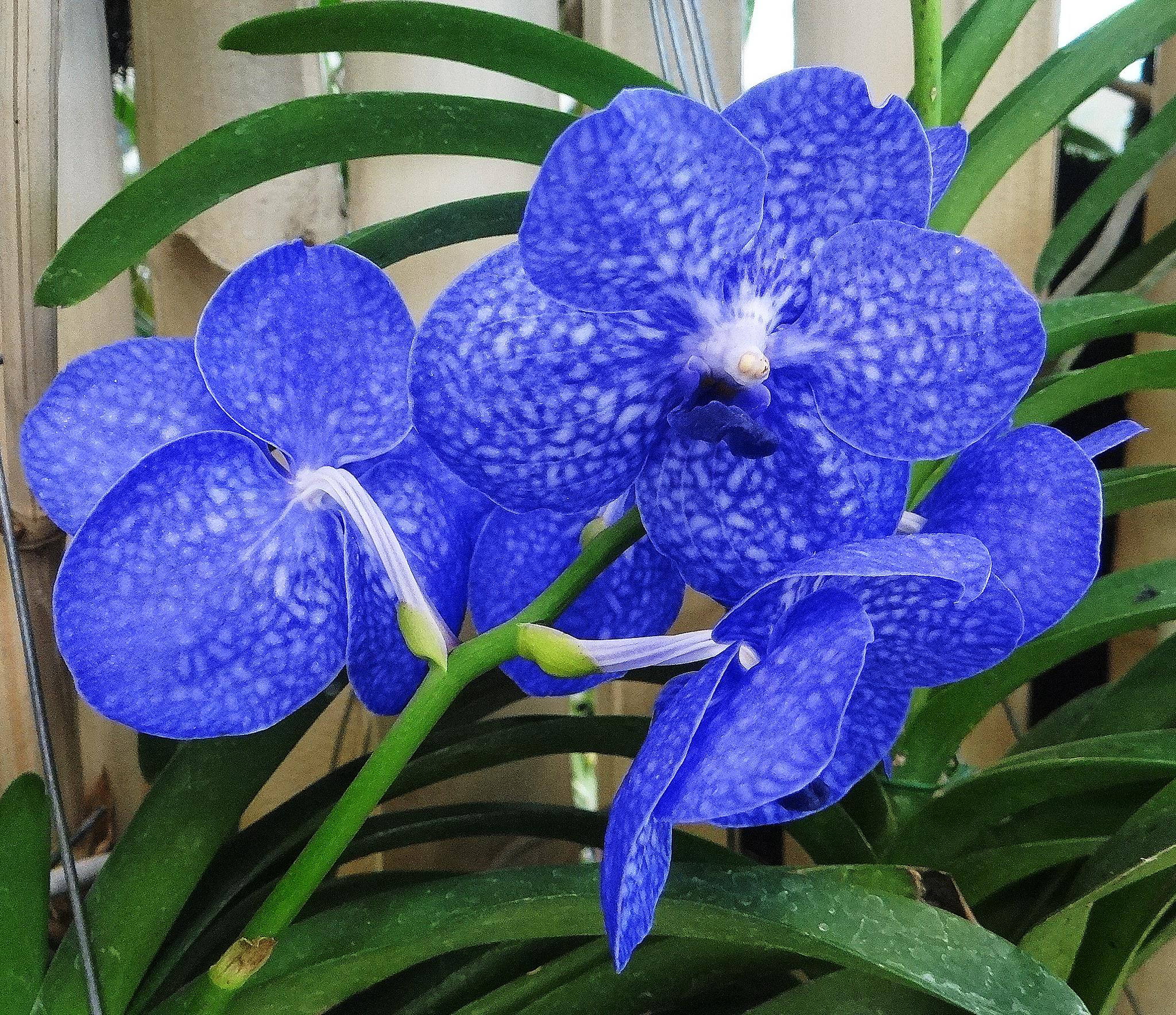 Blue by vladybachez