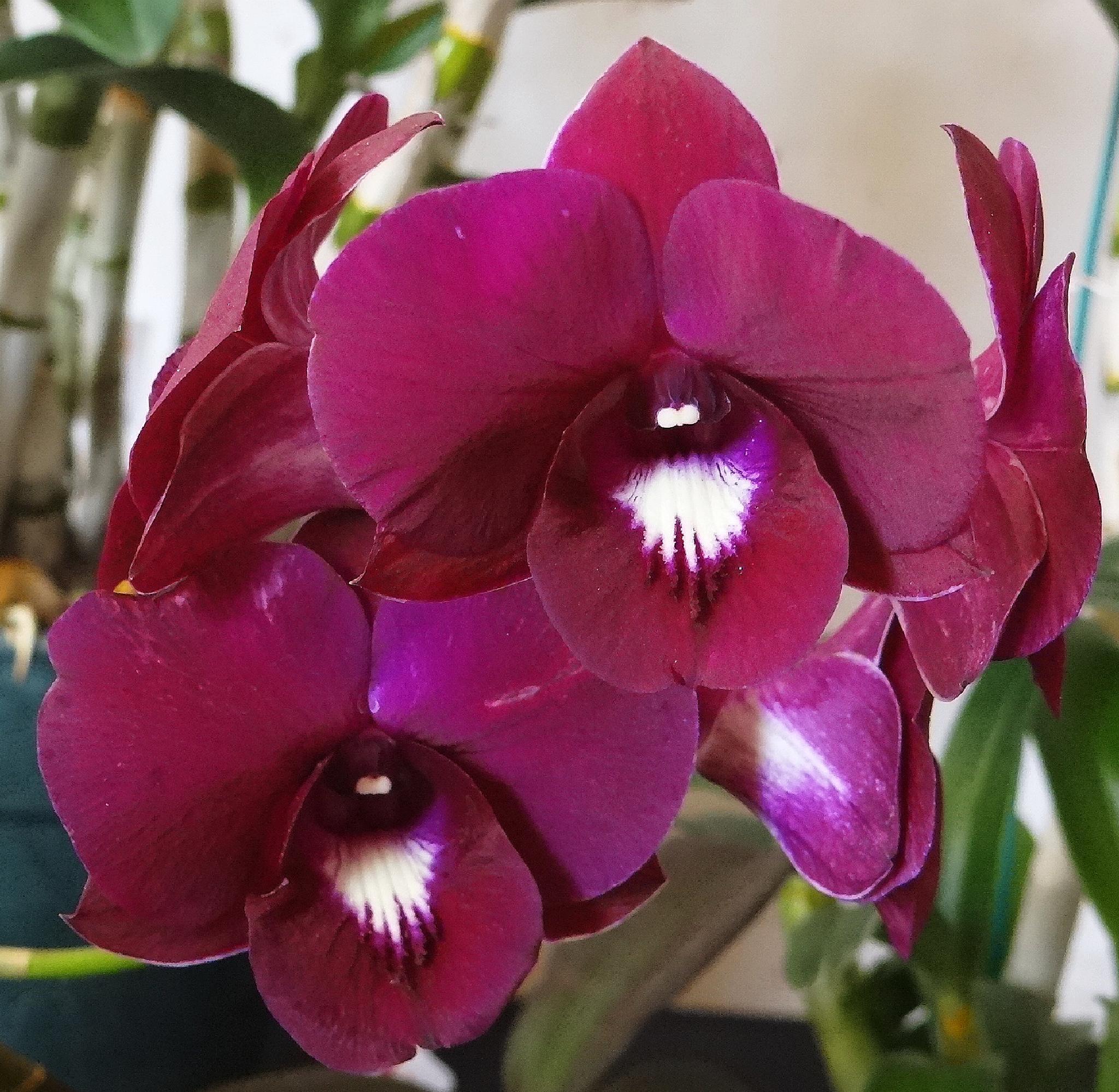 Orquídeas Corintas by vladybachez