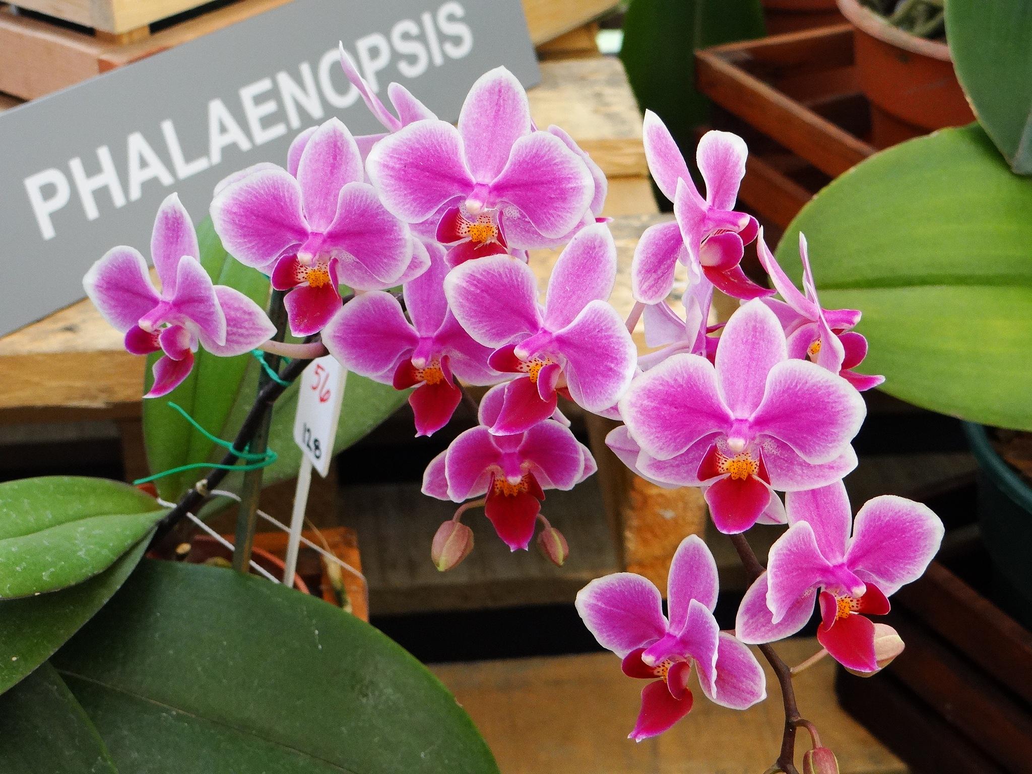 Phalaenopsis by vladybachez