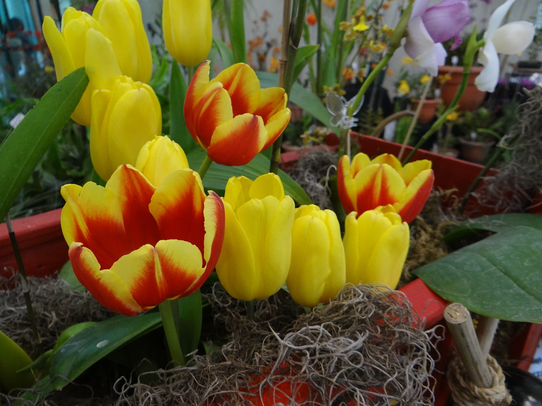Tulipanes by vladybachez