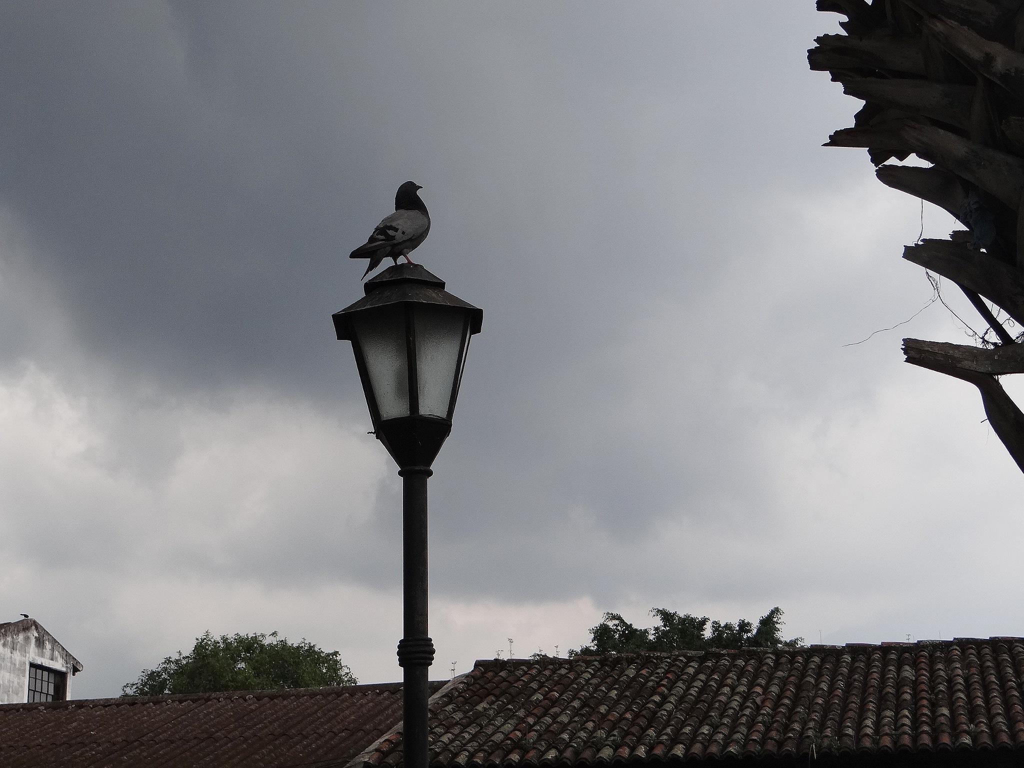 Palomo Mensajero by vladybachez